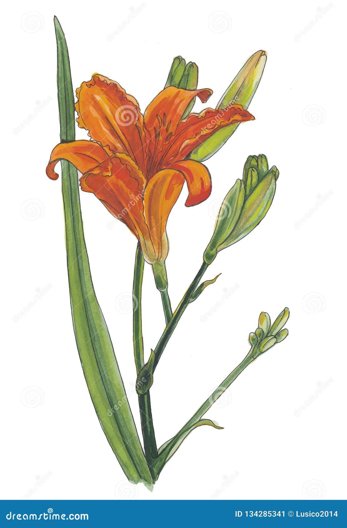Βοτανική απεικόνιση Watercolor του πορτοκαλιού ημέρα-κρίνου