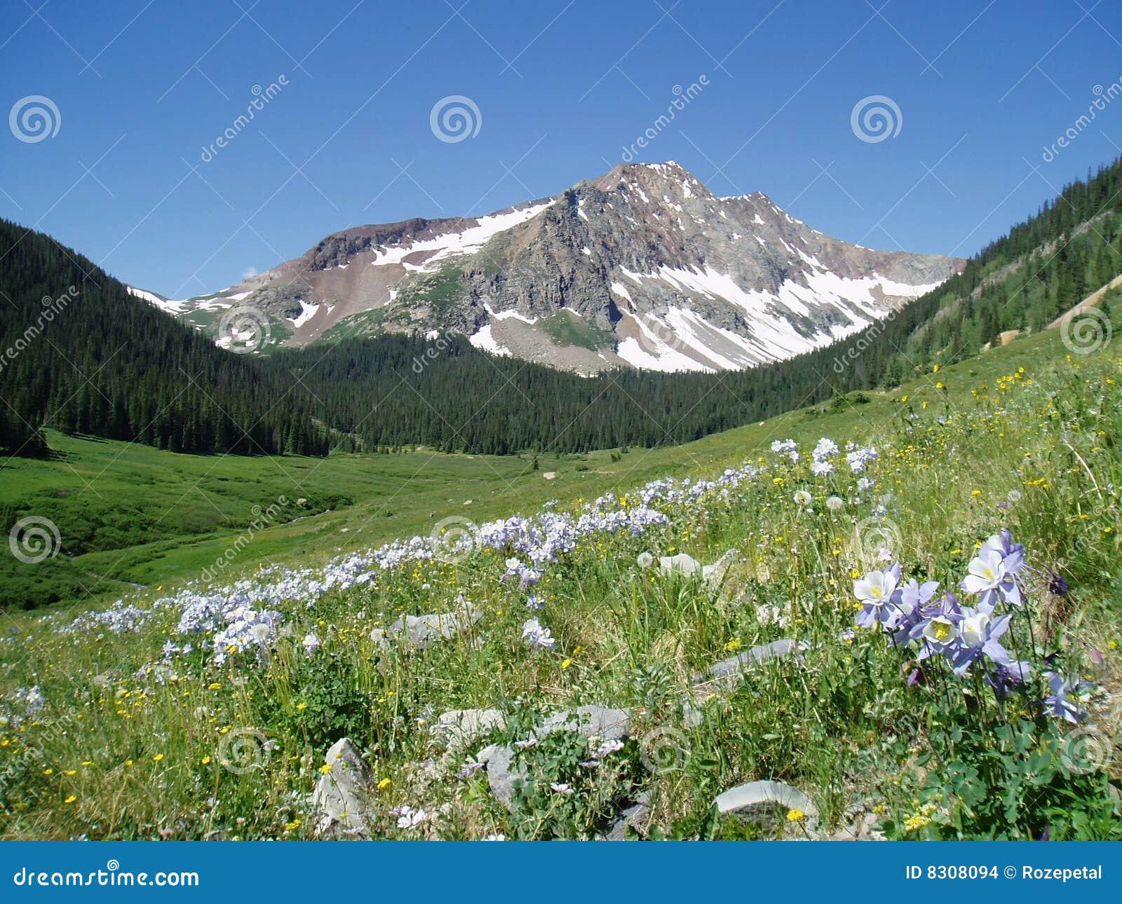 βουνό lupines του Κολοράντο
