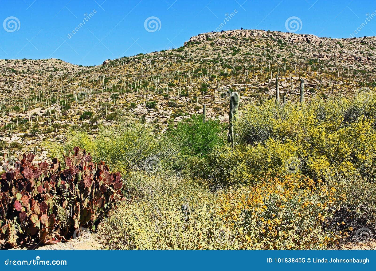 Βουνό Saguaro στο υποστήριγμα Lemmon στο Tucson Αριζόνα