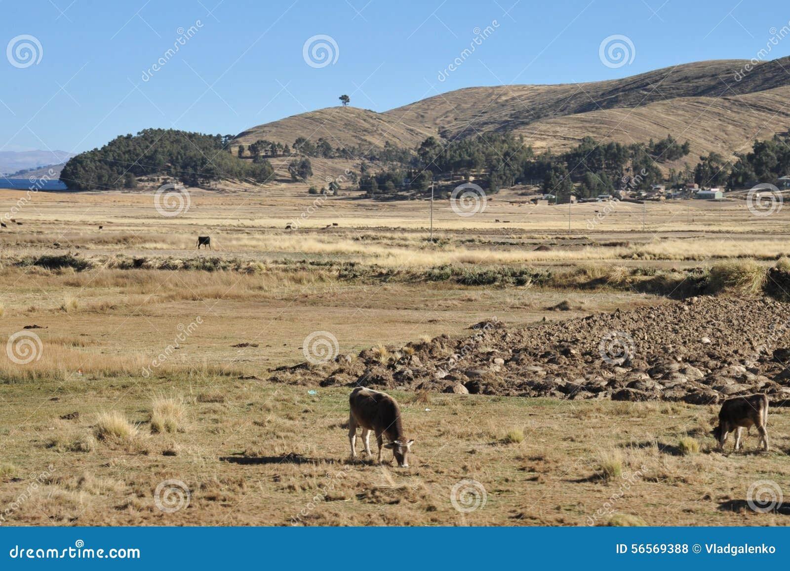 Download Βολιβιανό χωριό στις ακτές της λίμνης Titicaca Στοκ Εικόνες - εικόνα από χωριό, βοοειδή: 56569388