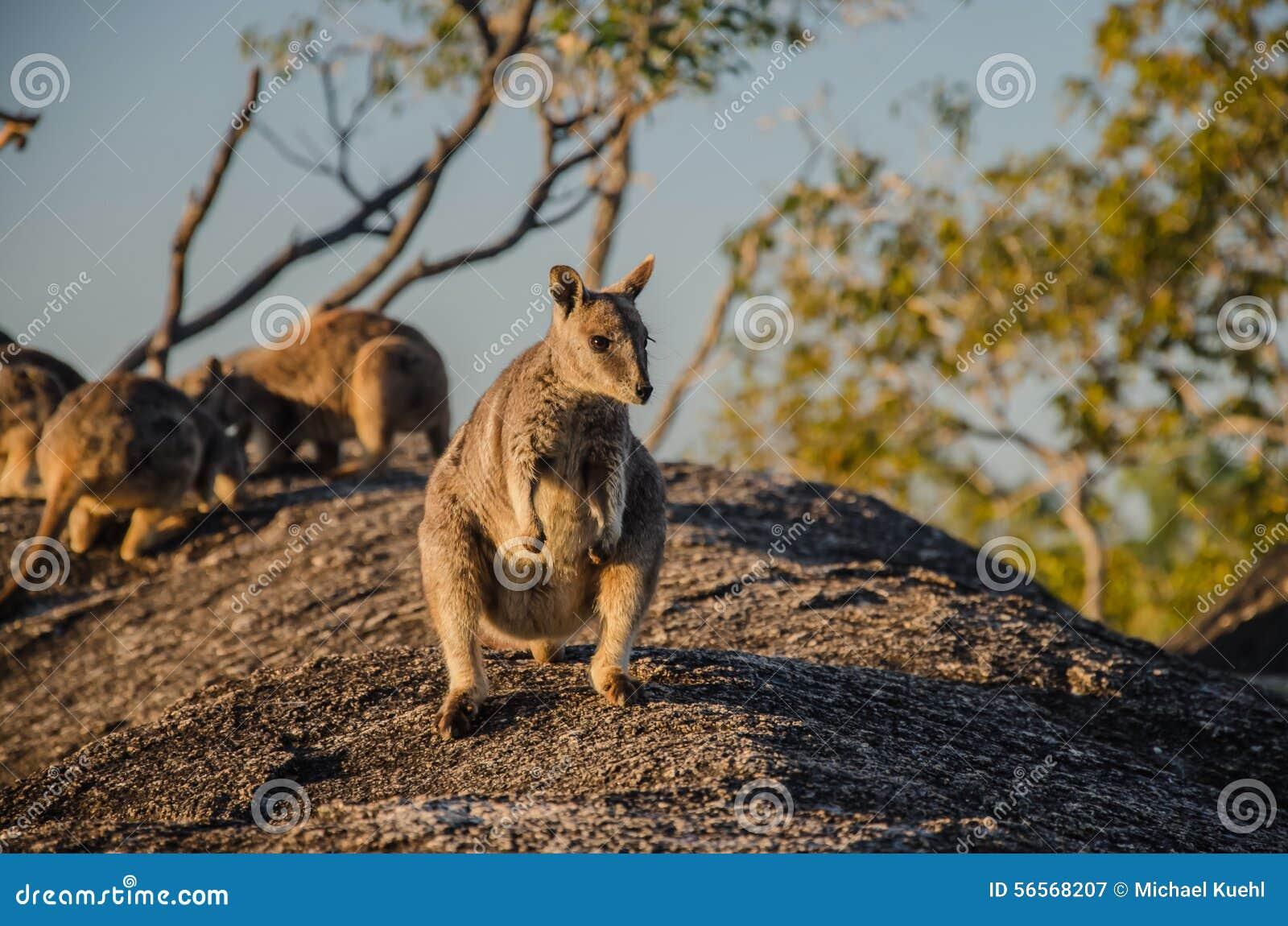 Download Βράχος Wallaby στοκ εικόνα. εικόνα από τρόφιμα, πανίδα - 56568207