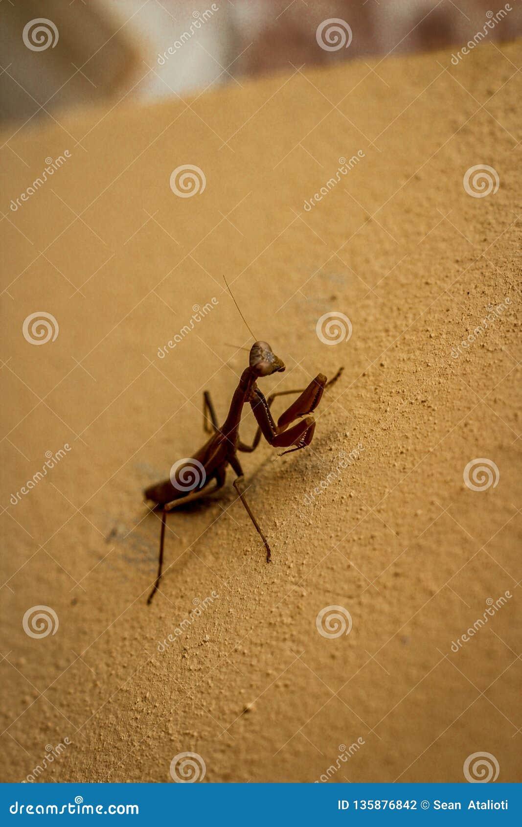 Βρήκε αυτό το θήραμα Mantis ενώ στην πλάτη