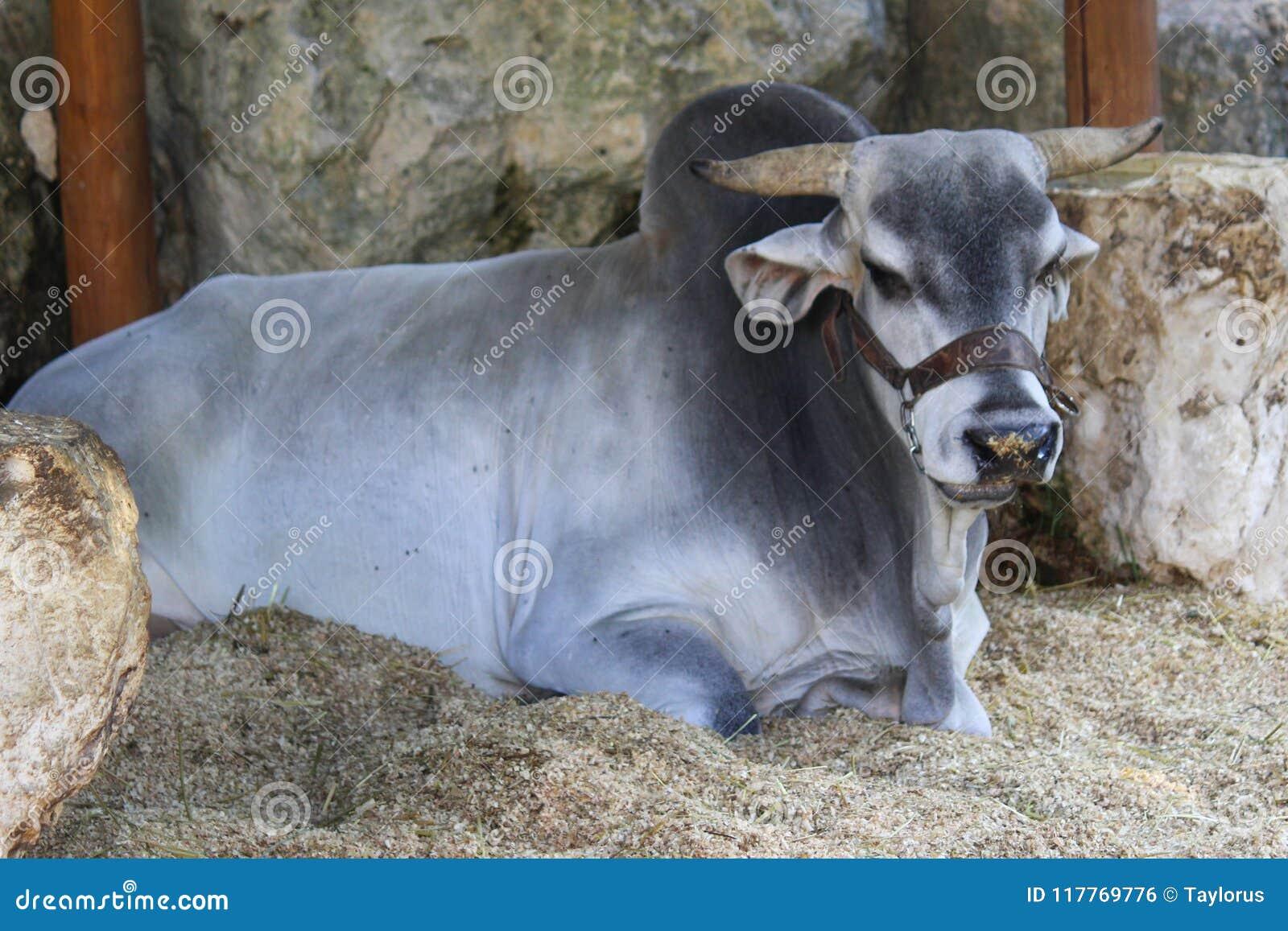 Βραβευθείς ταύρος brahma που στηρίζεται στο μεξικάνικο σταύλο