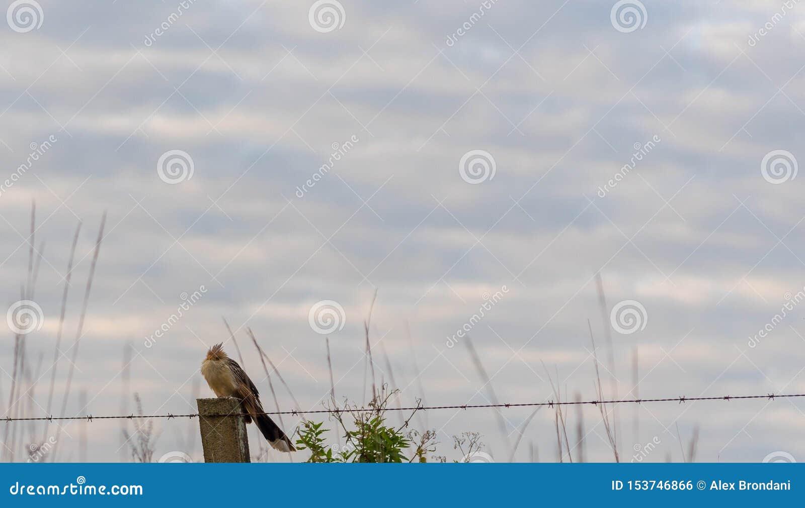 Βραζιλιάνο πουλί που κάθεται για τα καλώδια