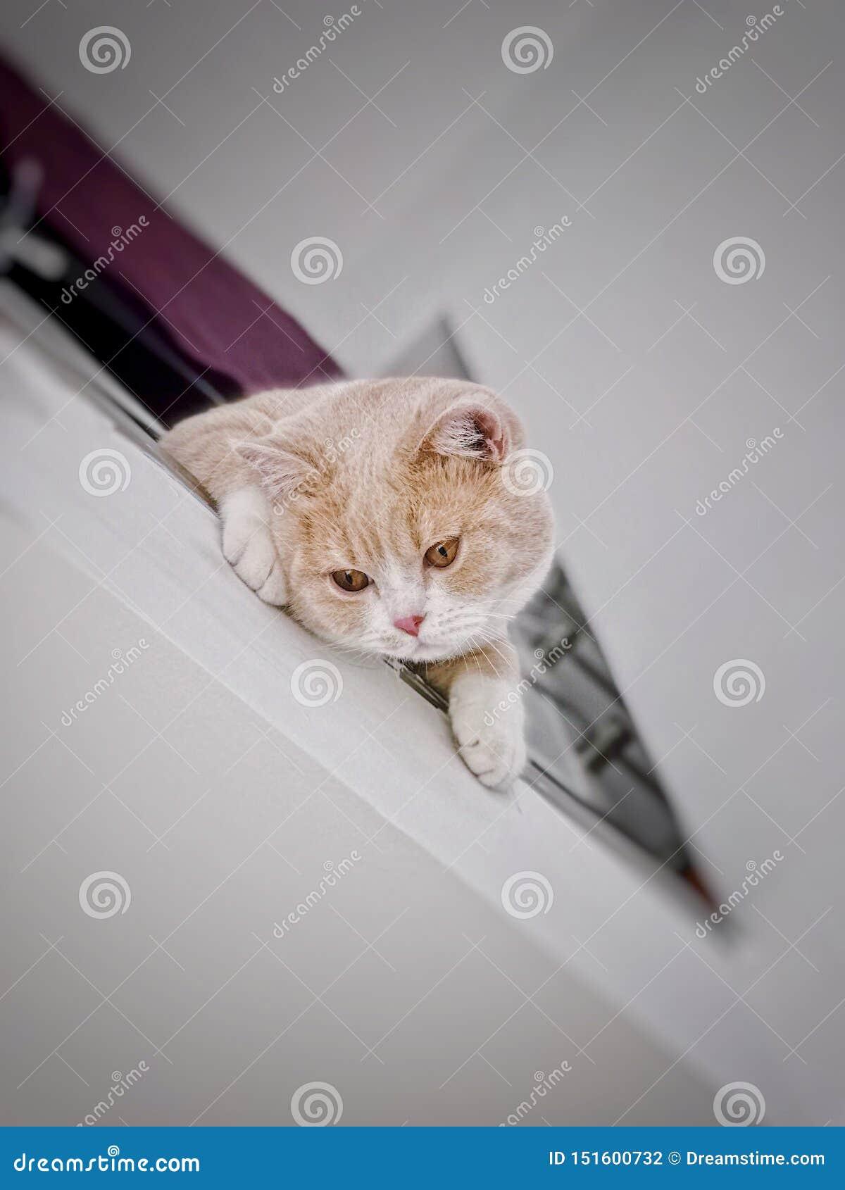 Βρετανική γάτα shorthair με τα μεγάλα μάτια