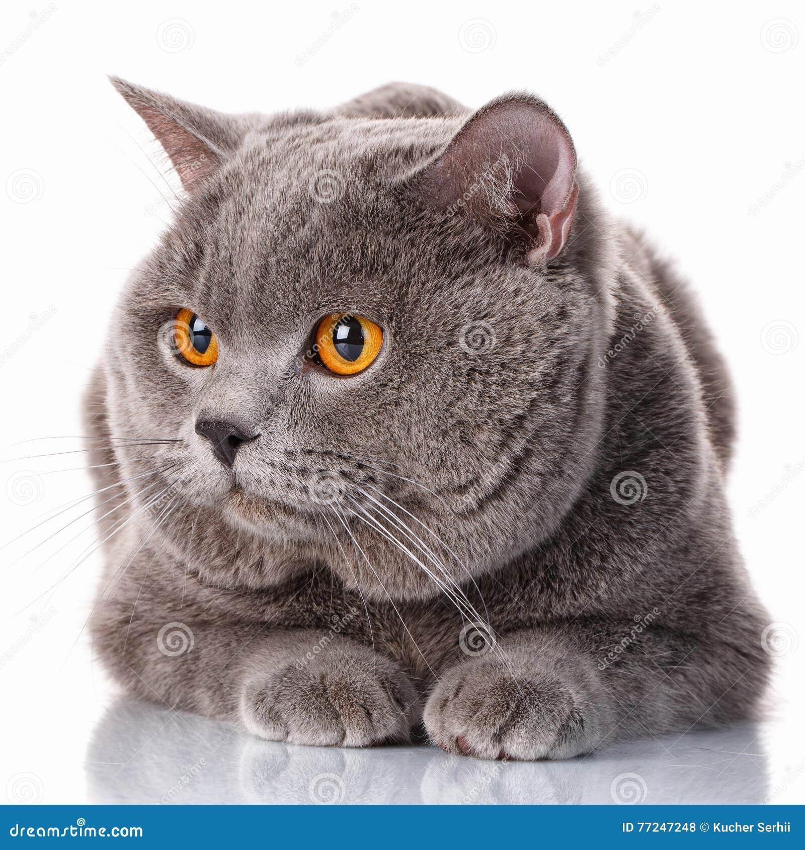 56e67154e586 Χαριτωμένο γκρίζο βρετανικό Shorthair με την καφετιά γάτα ματιών που  βρίσκεται και φαίνεται κατά μέρος απομονωμένο στο άσπρο υπόβαθρο
