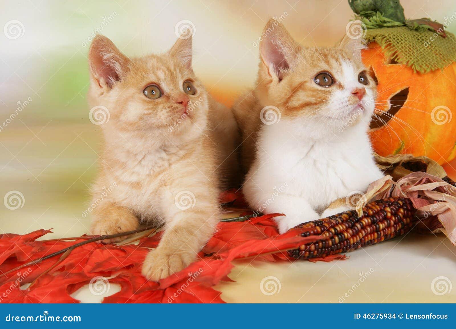Βρετανικό γατάκι shorthair δύο με τα φύλλα φθινοπώρου