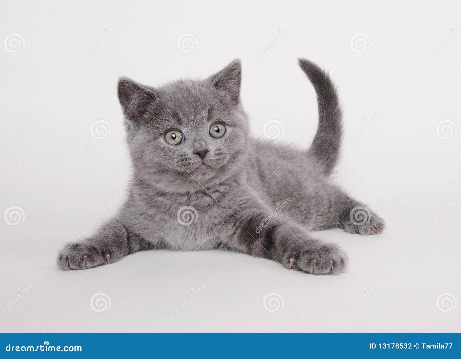 βρετανικό γατάκι shorthair