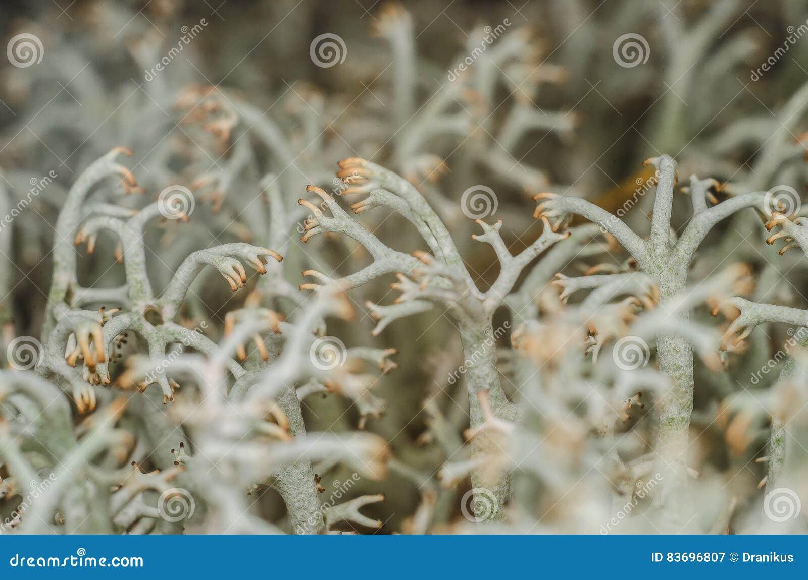 Βρύο, άσπρη λειχήνα, μακρο, θαμνώδης, κορμός, ο Μπους, εγκαταστάσεις, σώμα, φύση, υπαίθρια, δάσος