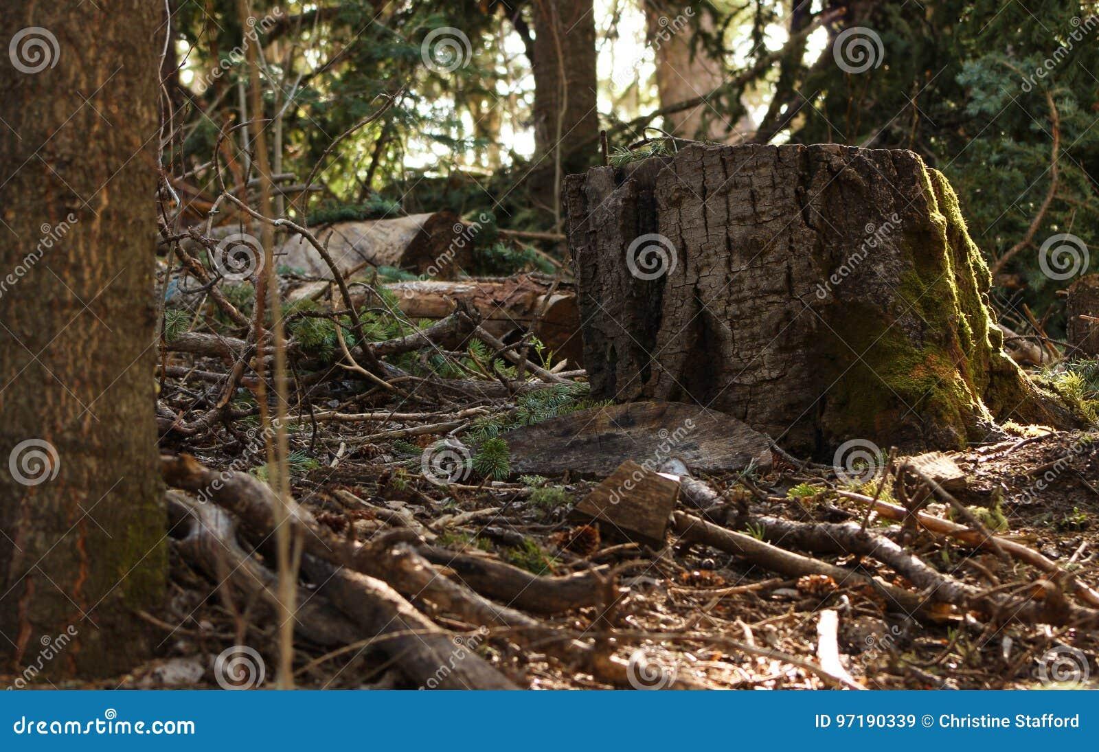 Βρύο ανάπτυξης κολοβωμάτων δασικών δέντρων το καλοκαίρι