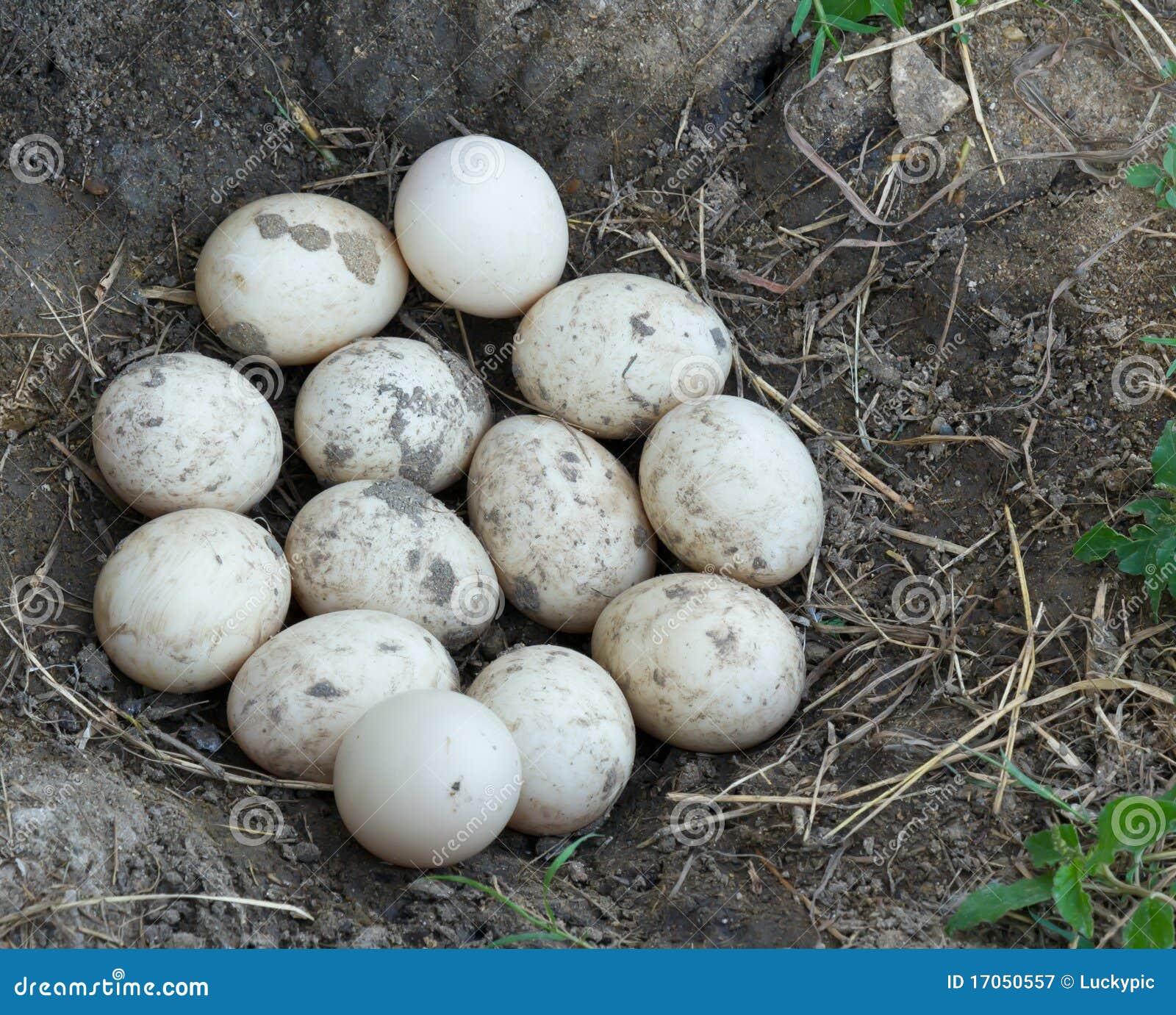 βρώμικο αυγό παπιών