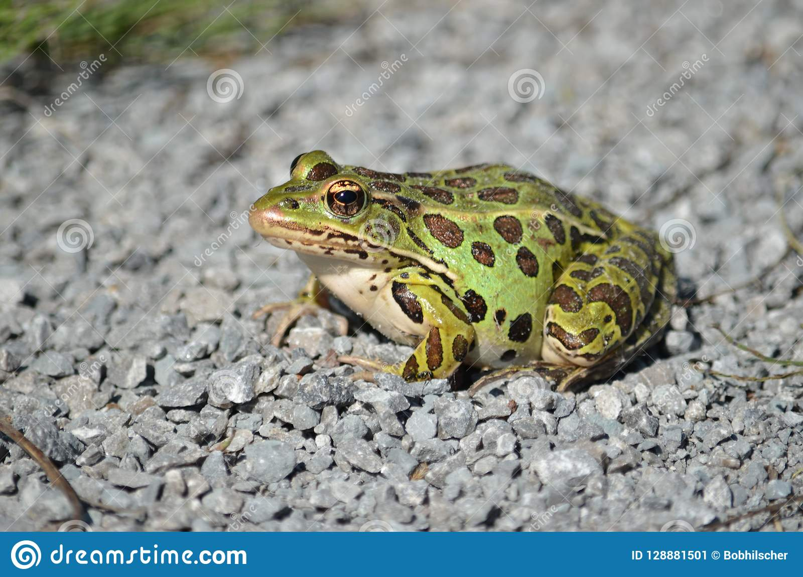 Βόρειος βάτραχος λεοπαρδάλεων