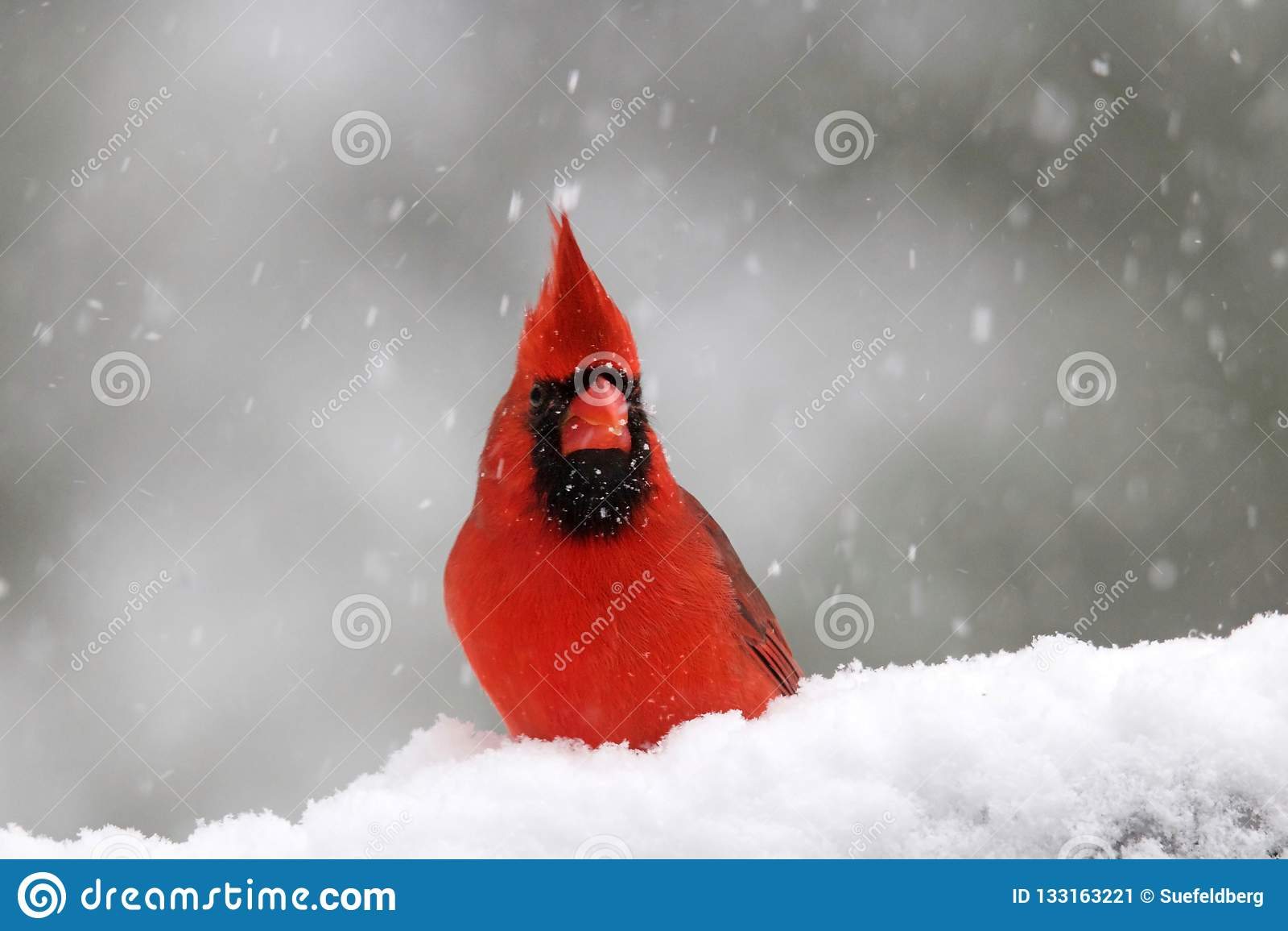 Βόρειος καρδινάλιος μια χιονώδη ημέρα το χειμώνα