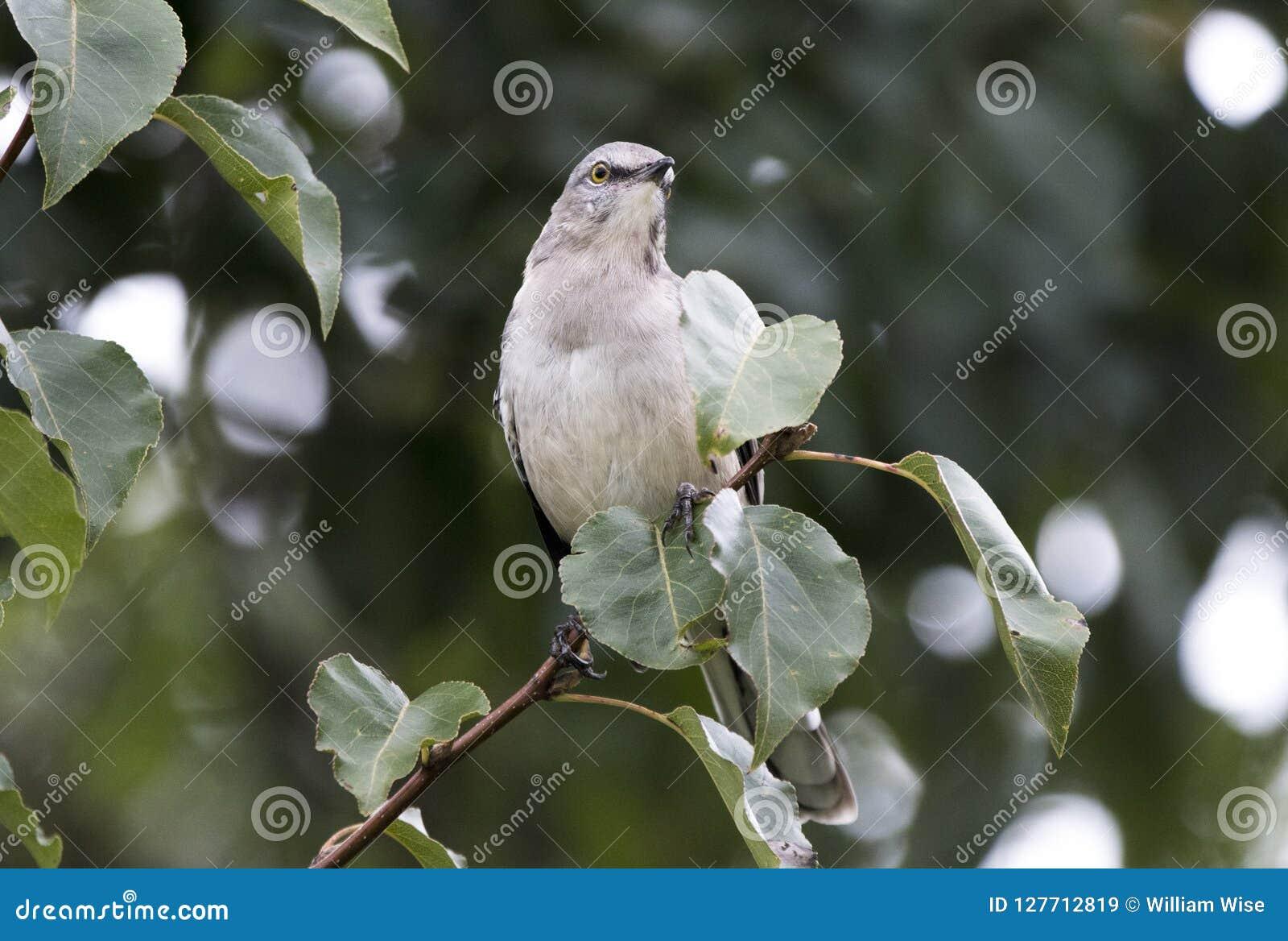 Βόρειο Mockingbird που σκαρφαλώνει στο δέντρο αχλαδιών του Μπράντφορντ, Γεωργία