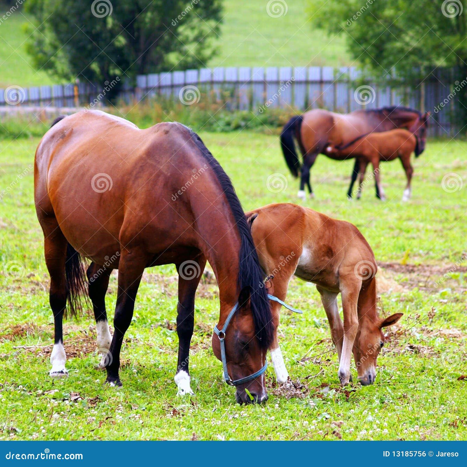 βόσκοντας άλογα πεδίων