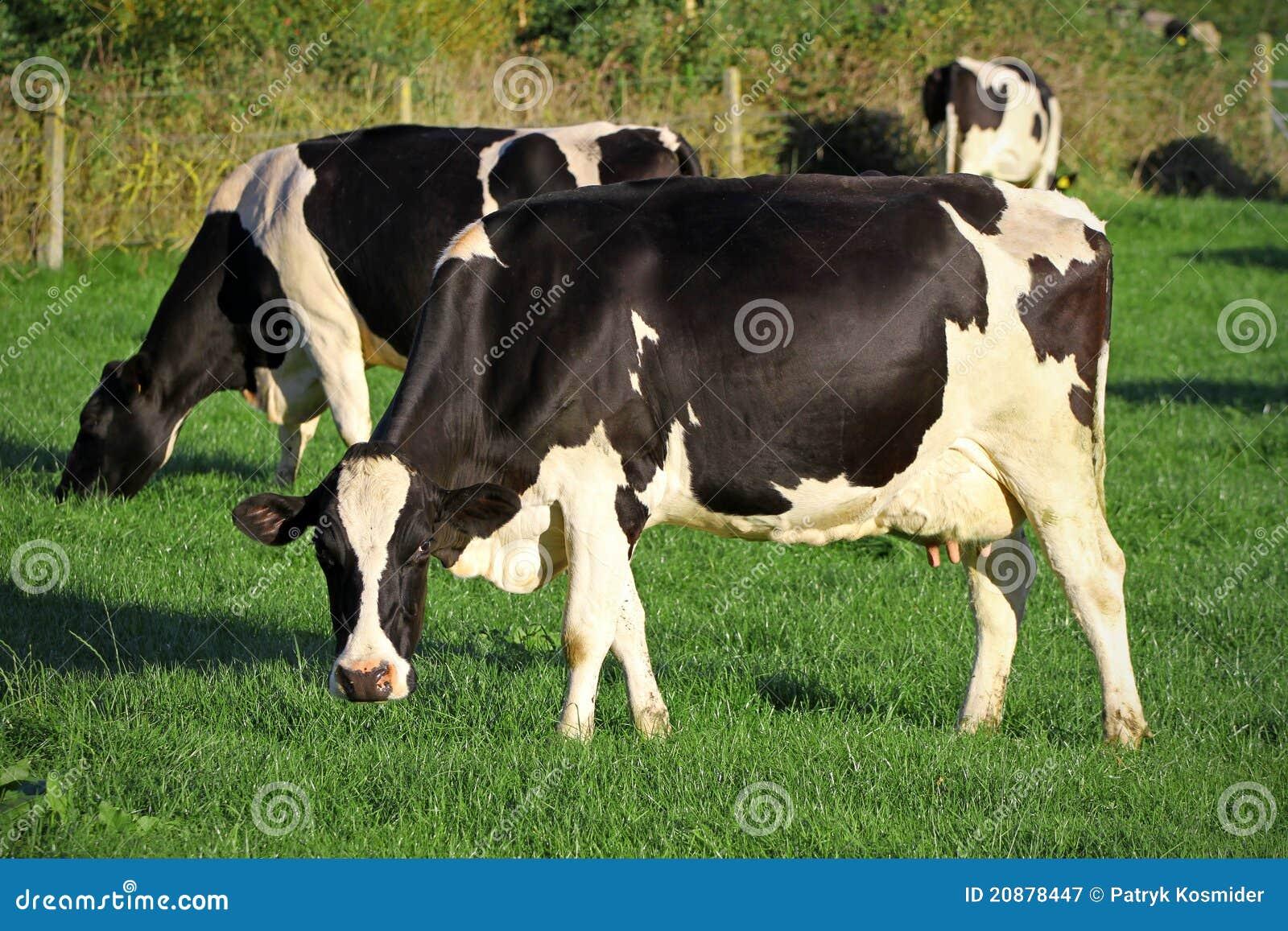 γάλα αγελάδων
