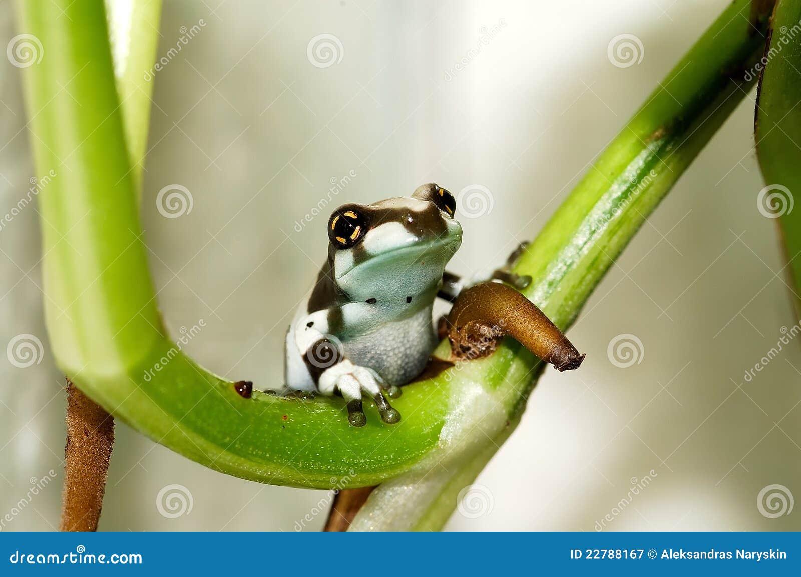 γάλα βατράχων της Αμαζώνας j