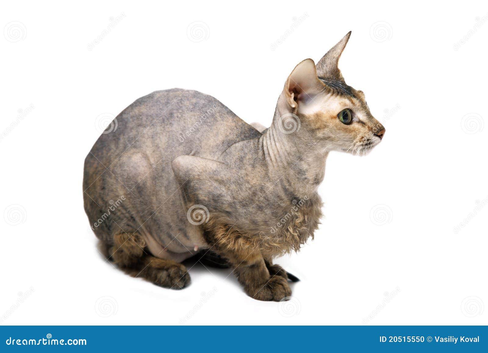γάτα άτριχος Ασιάτης