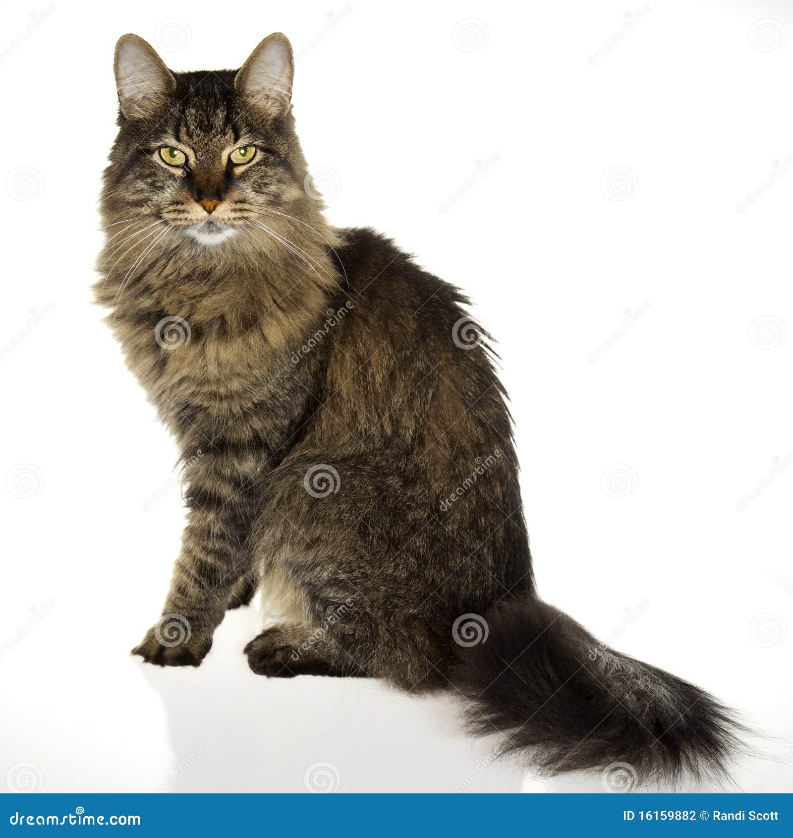 γάτα βασιλοπρεπής