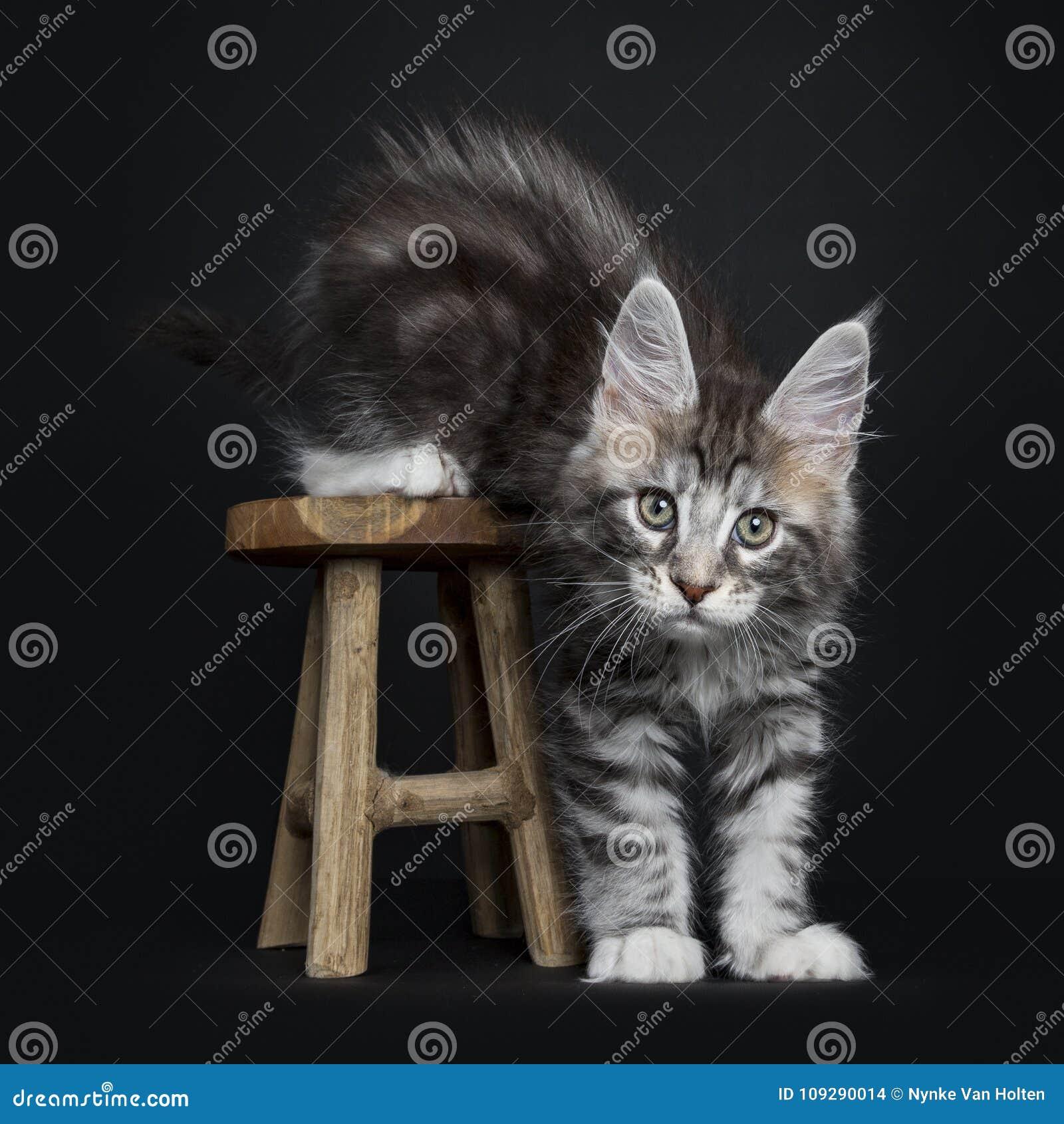 Γάτα/γατάκι του Μαίην Coon