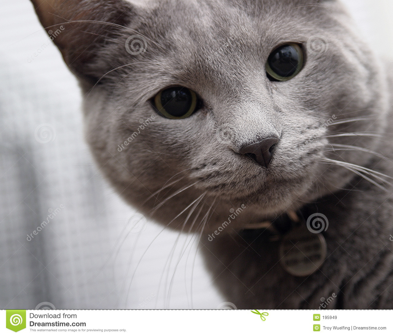 γάτα γκρίζα