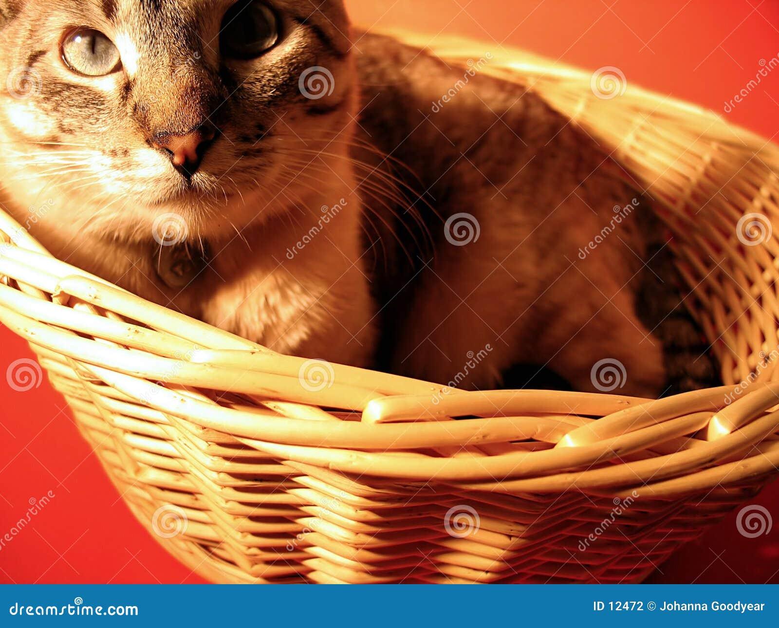 γάτα καλαθιών