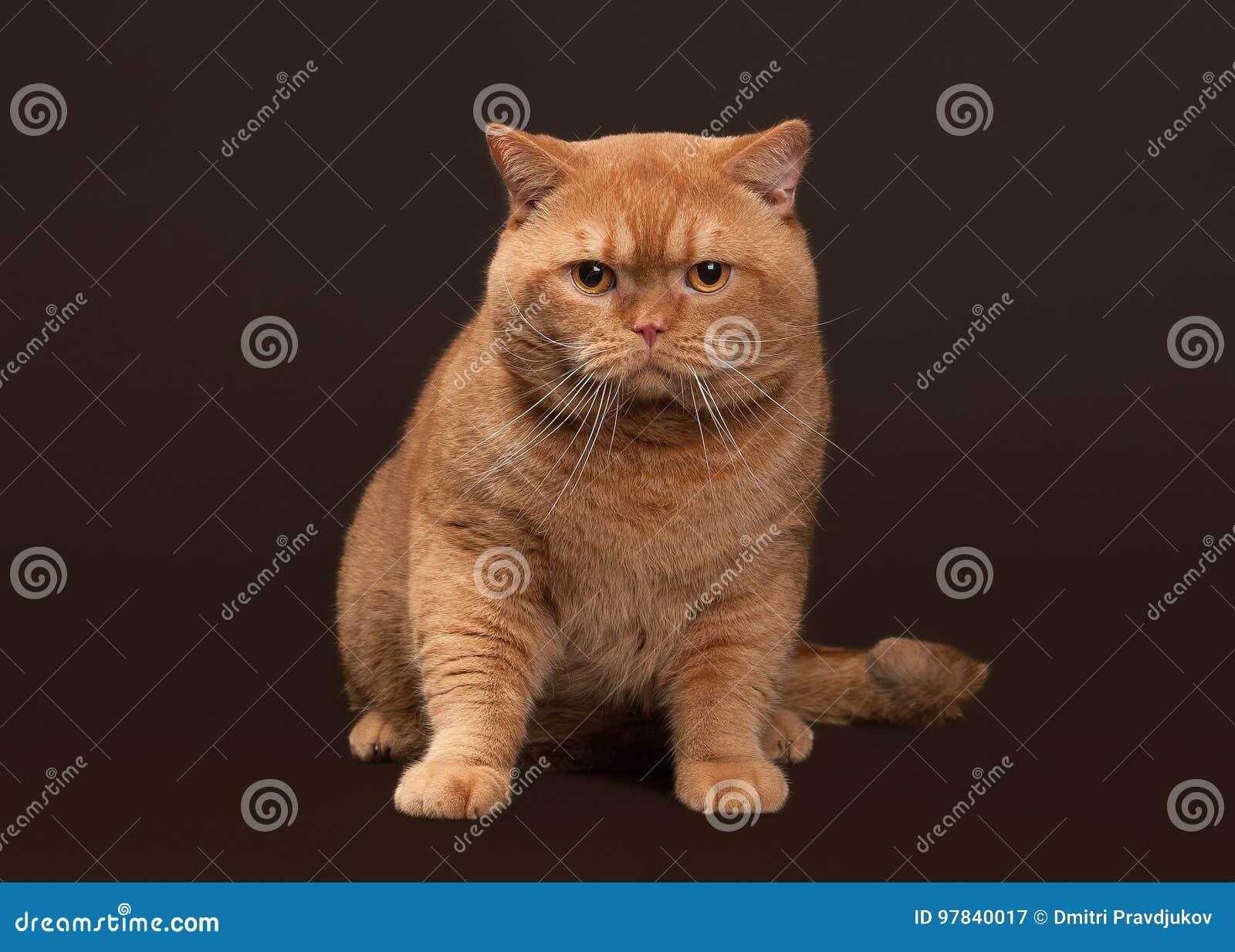 8b799934ce6d Γάτα Κόκκινη βρετανική αρσενική γάτα στο σκοτεινό καφετί υπόβαθρο ...