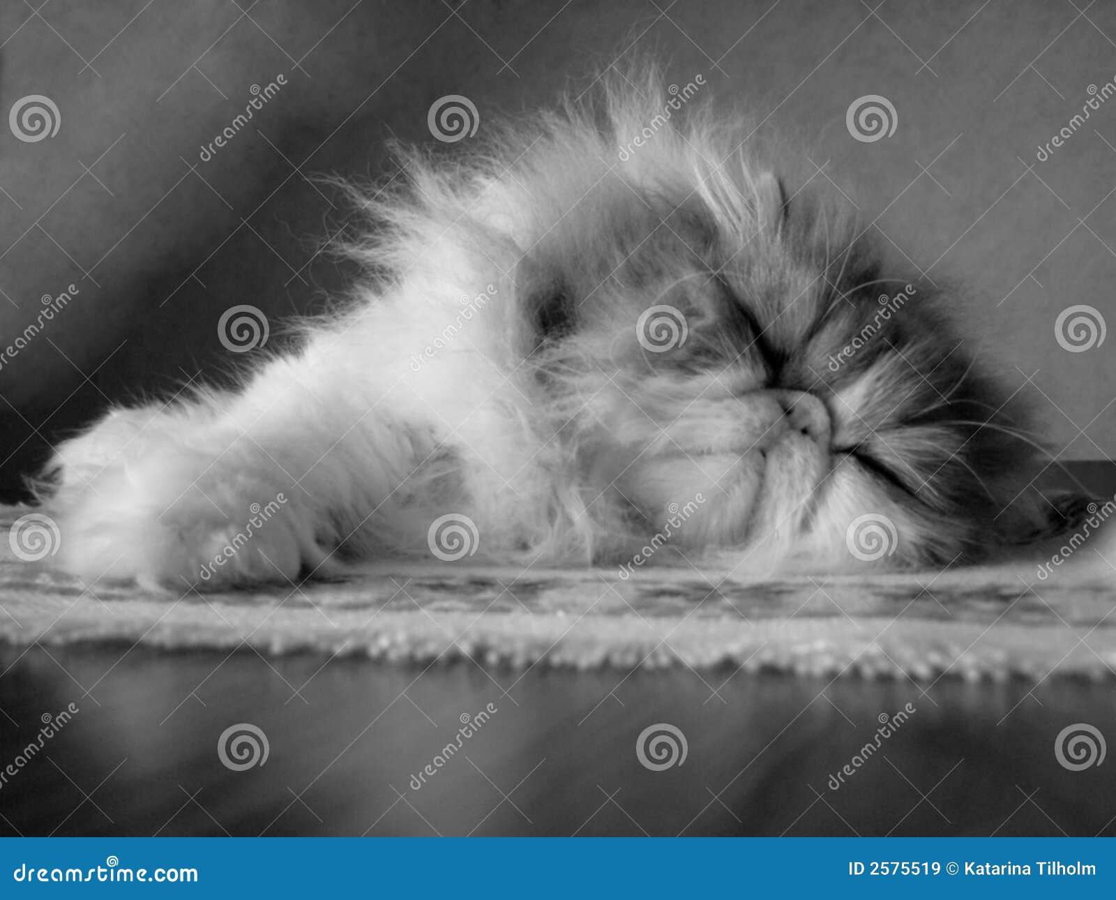 γάτα περσική