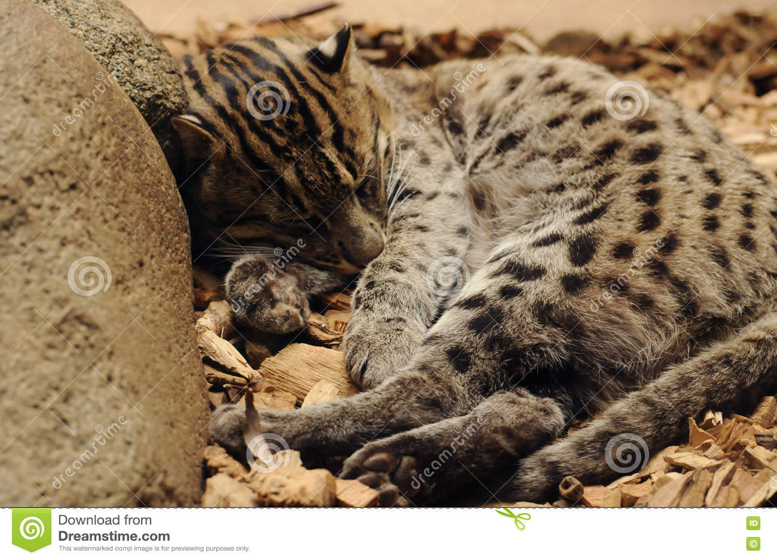 γάτα που αλιεύει το νησί samos της Ελλάδας