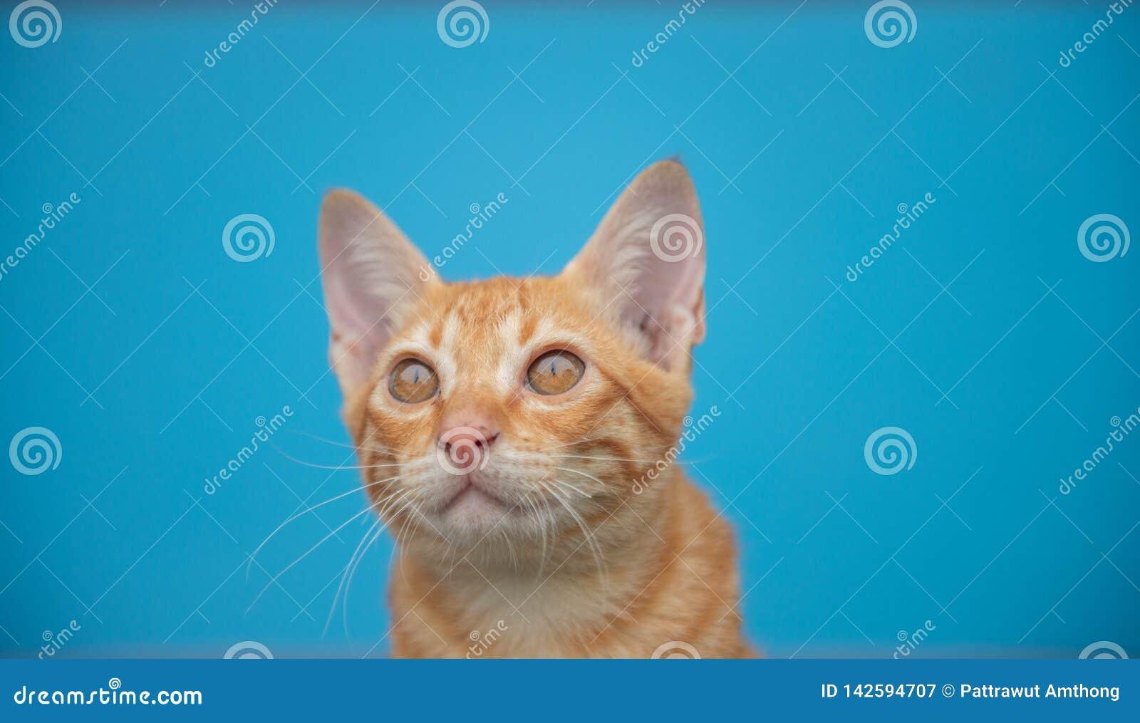 Γάτα σε ένα μπλε υπόβαθρο