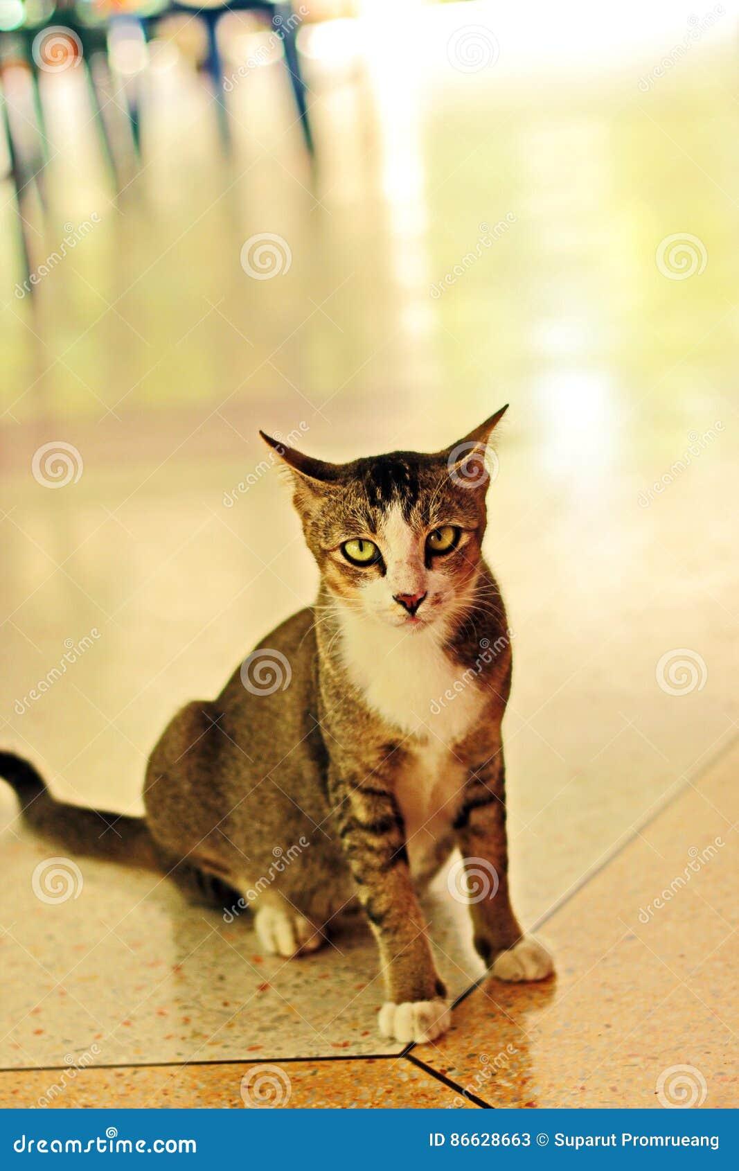 γάτα Ταϊλανδός