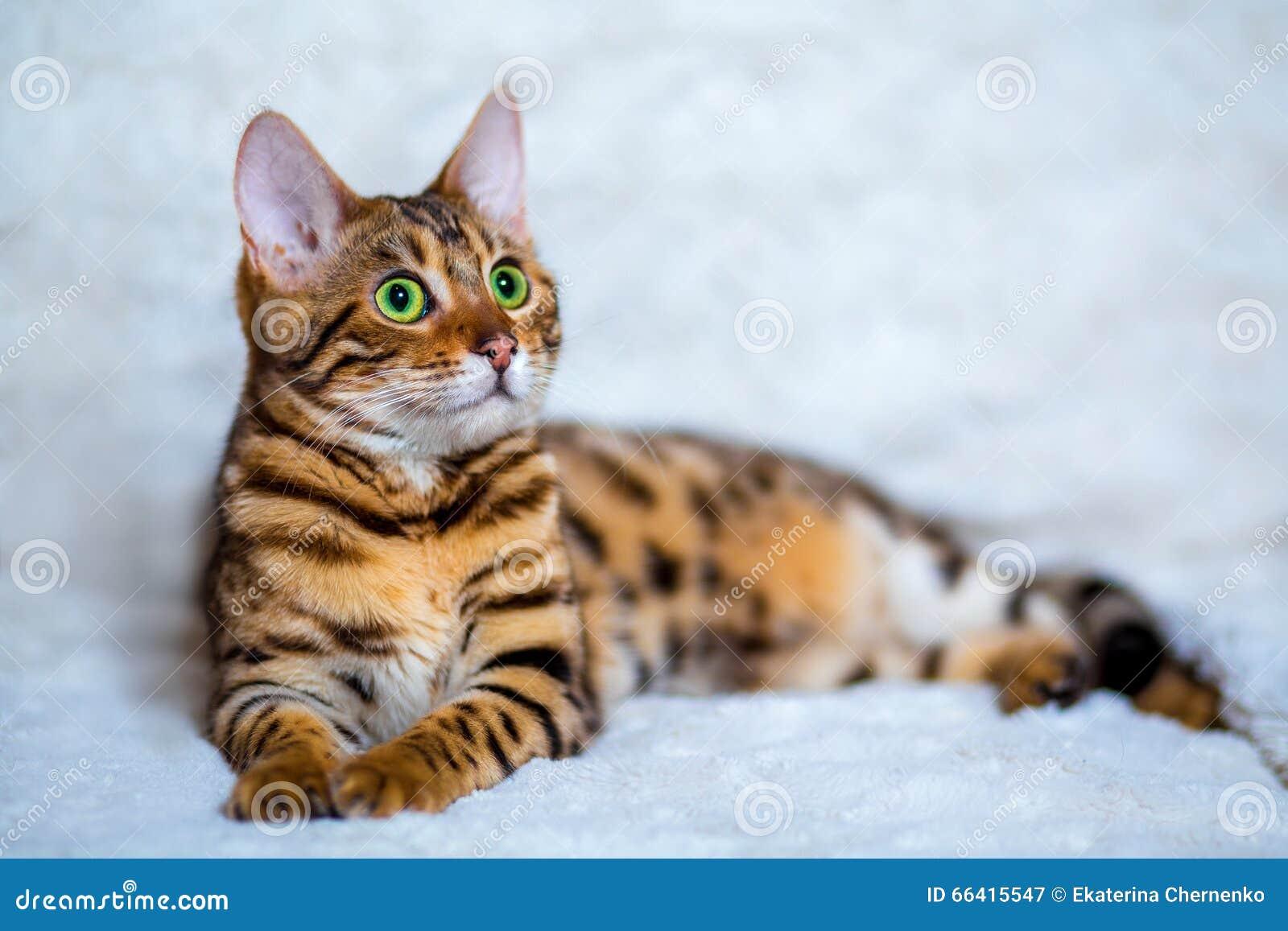 γάτα της Βεγγάλης