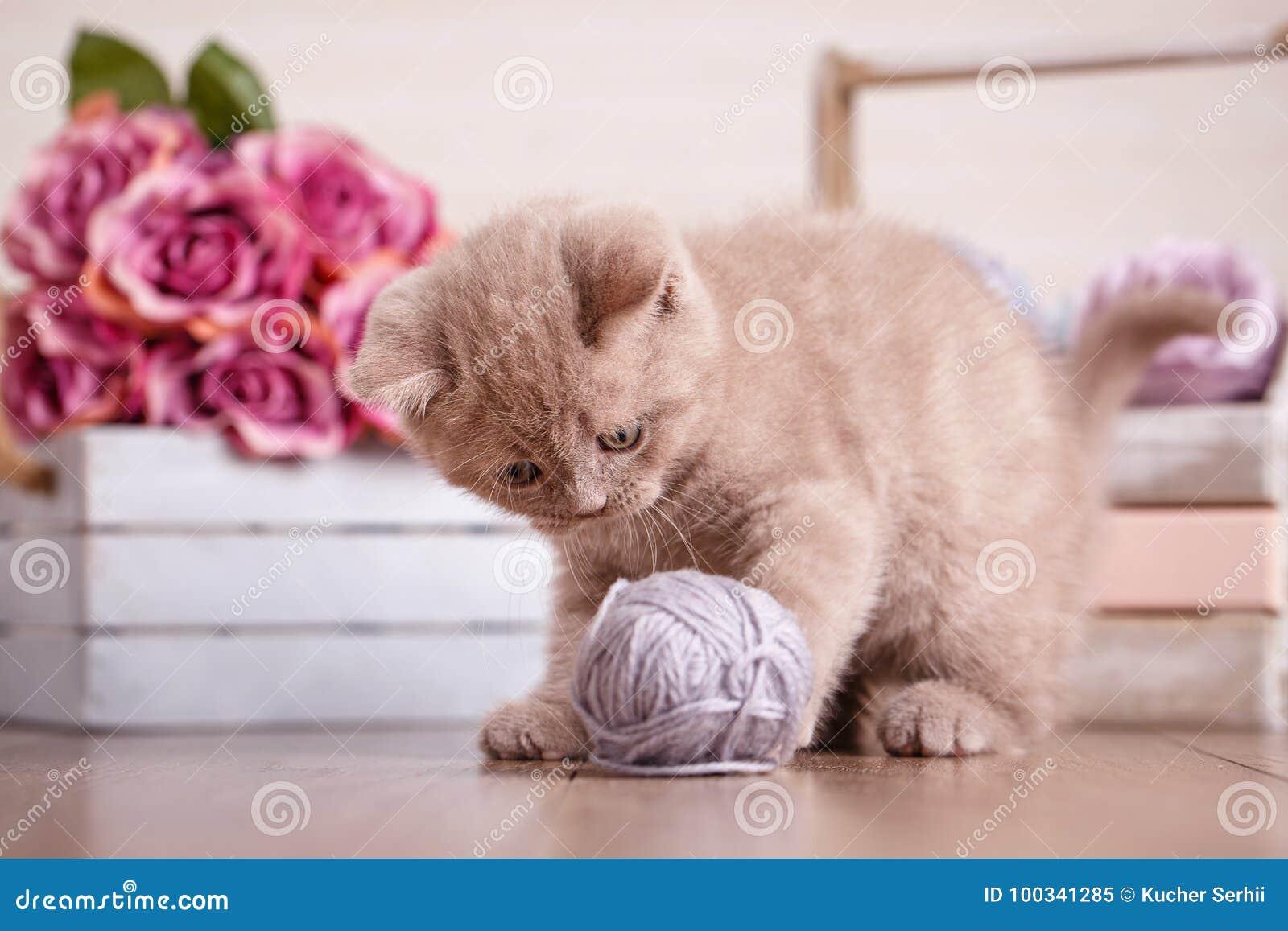 d293d650b4a2 Αυταράς παιχνίδια γατακιών Γάτα της Σκωτίας