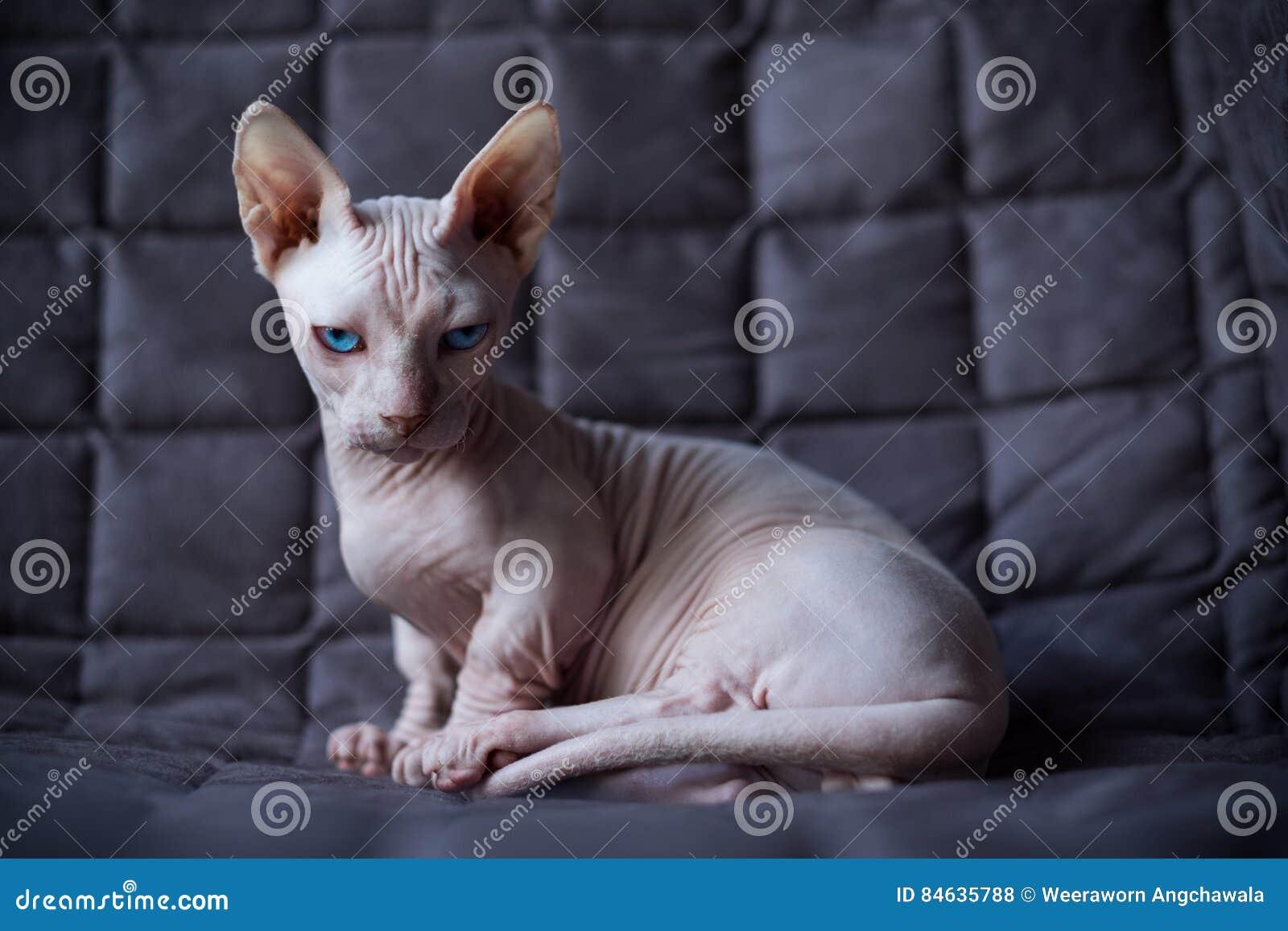 Γάτα Bambino