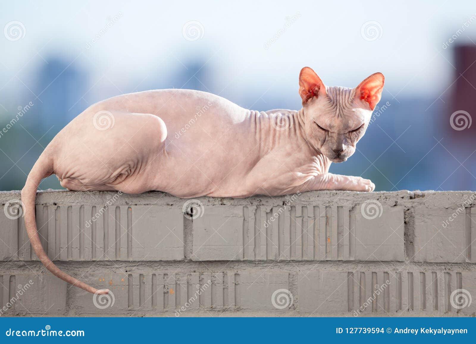 Γάτα Sphinx που βάζει στην ηλιοφάνεια στη ράγα του μπαλκονιού
