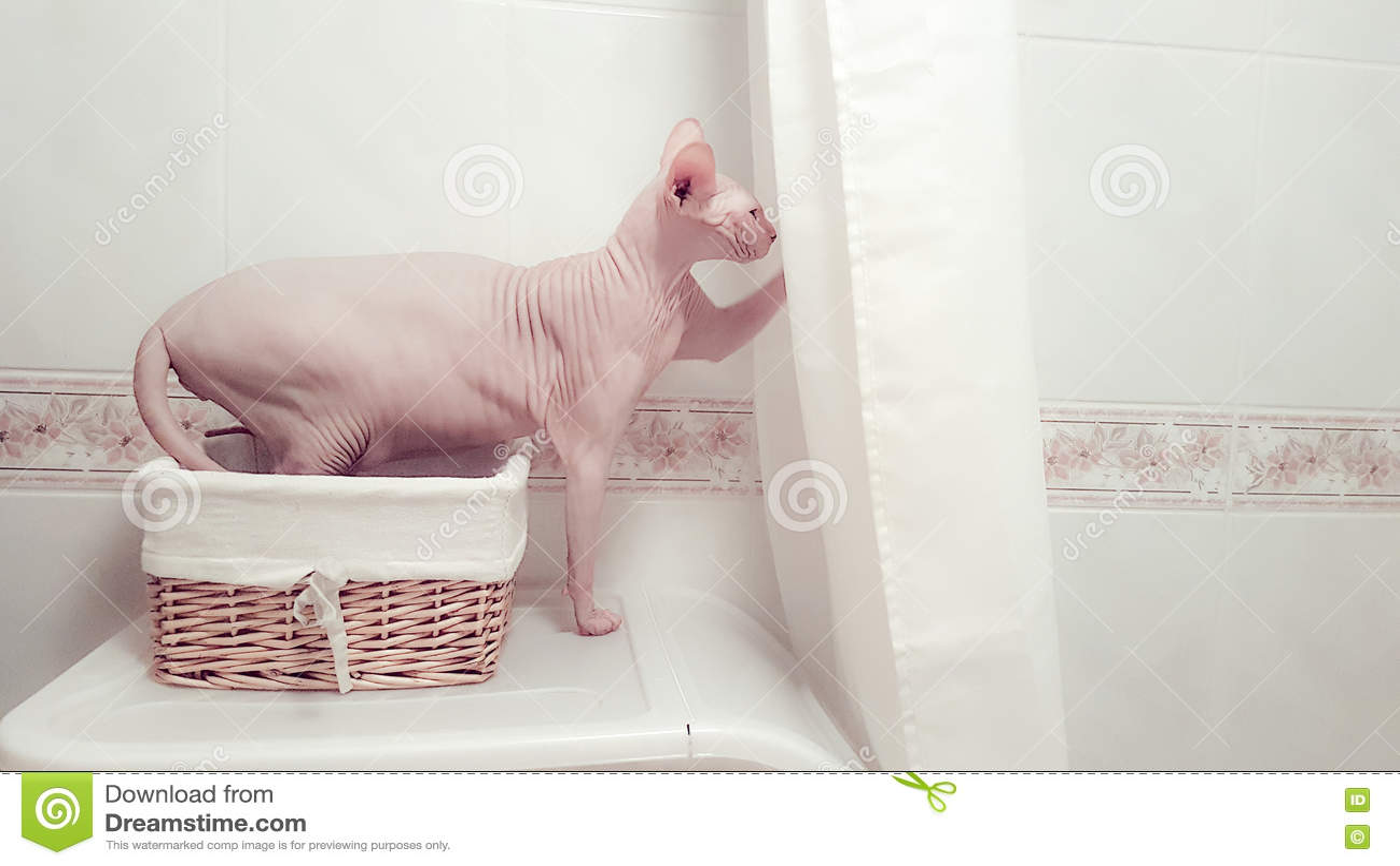 Γάτα Sphynx σε ένα λουτρό, αστεία έκφραση