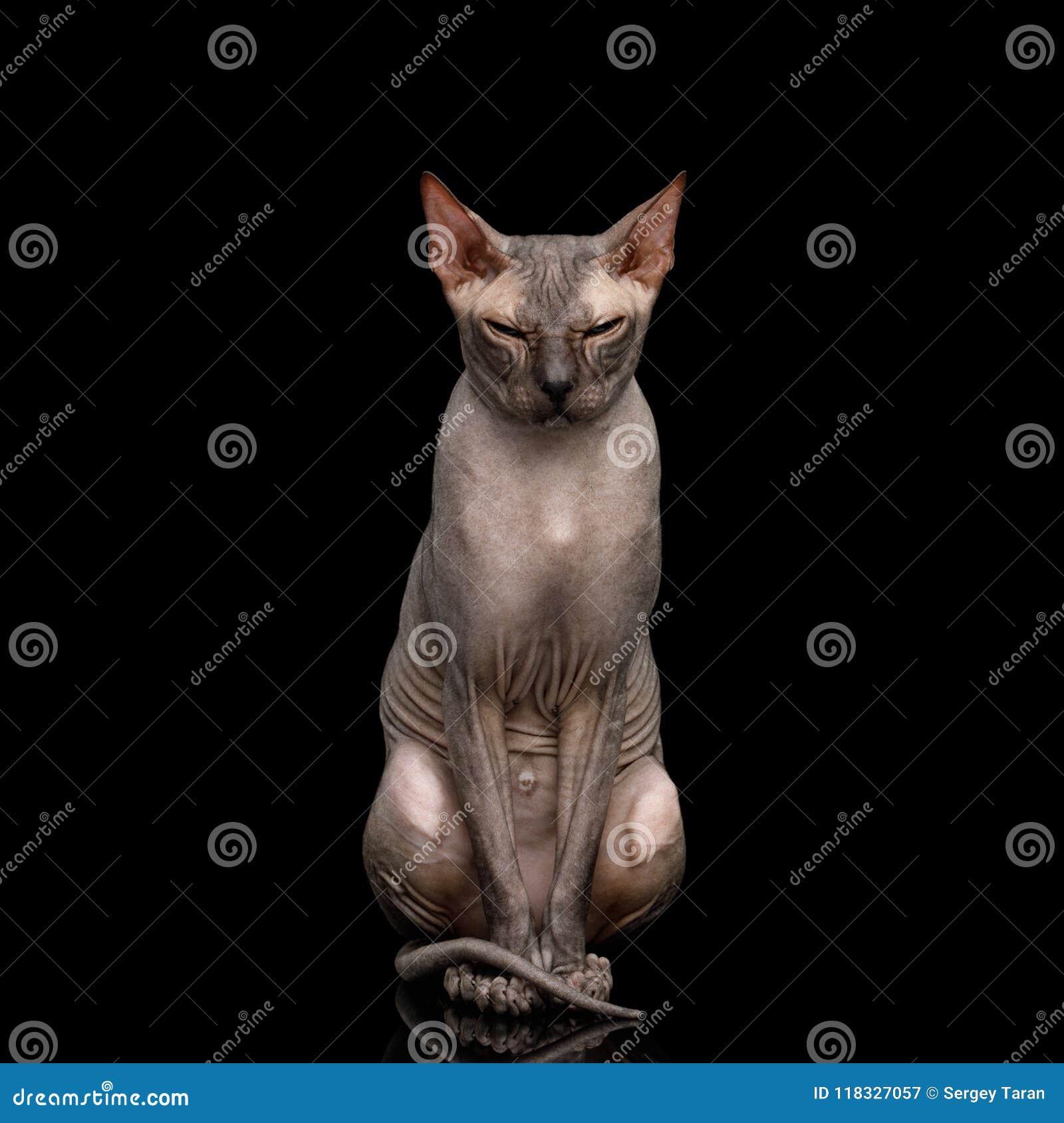 Γάτα Sphynx στο μαύρο υπόβαθρο