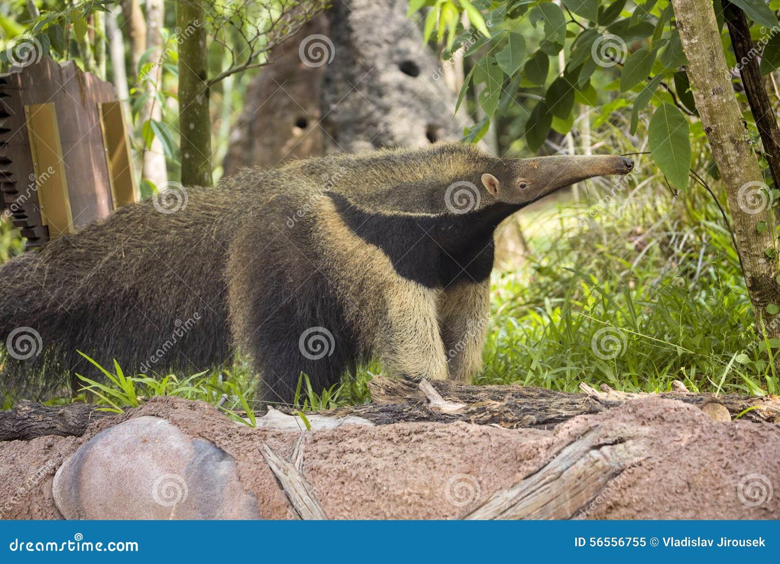Download Γίγαντας Anteater στο ζωολογικό κήπο Sinagpur Στοκ Εικόνα - εικόνα από θηλαστικό, αδελφών: 56556755