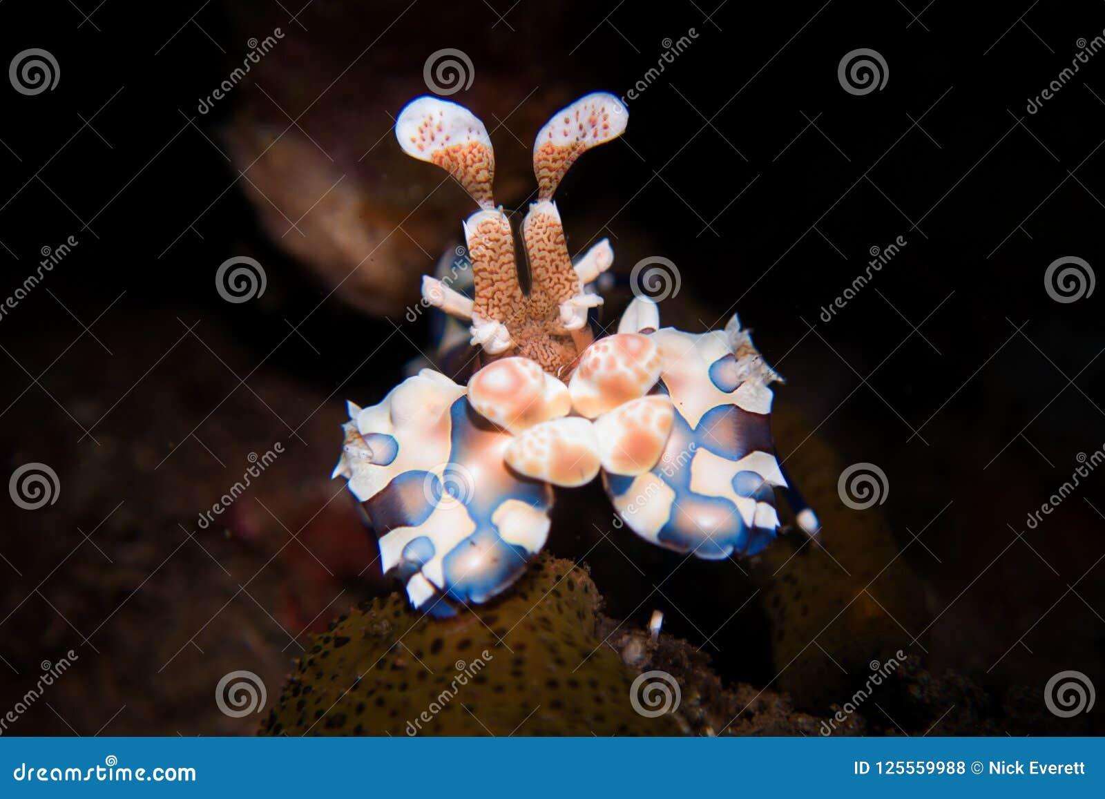 Γαρίδες Harlequin - picta Hymenocera