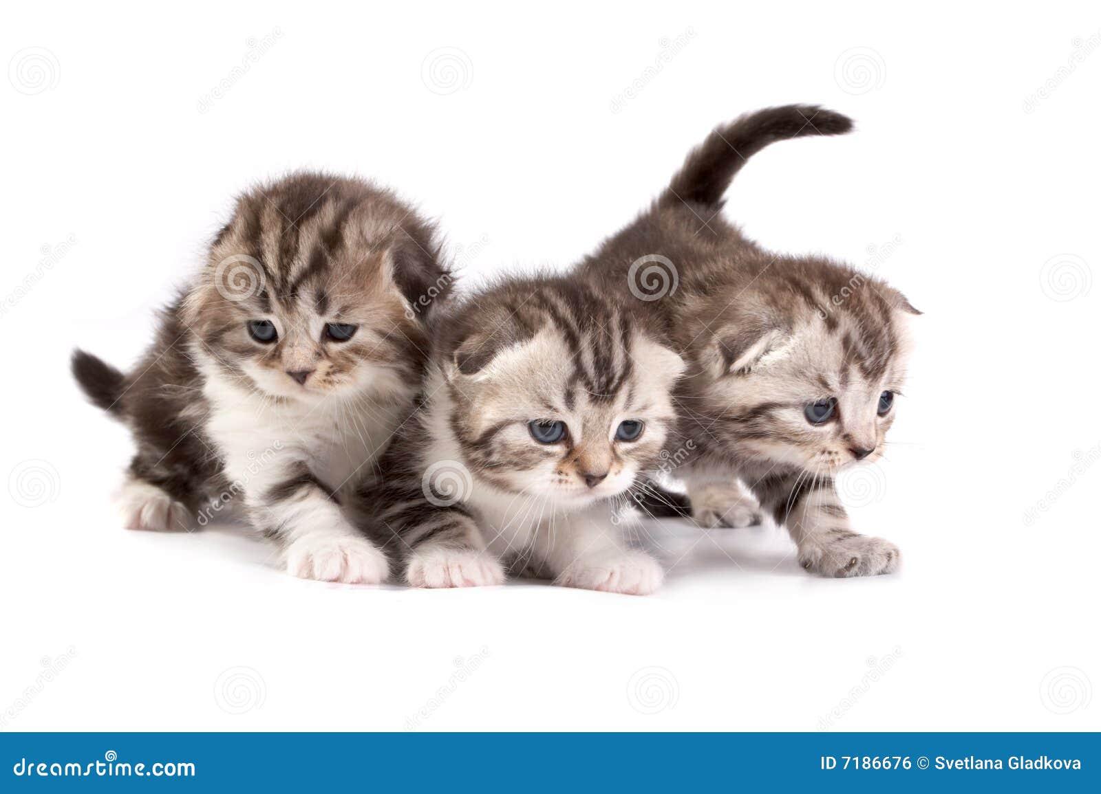 γατάκια σκωτσέζικα πτυχών