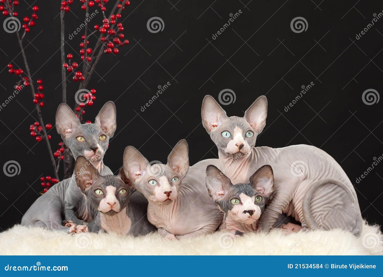 γατάκι πέντε sphynx