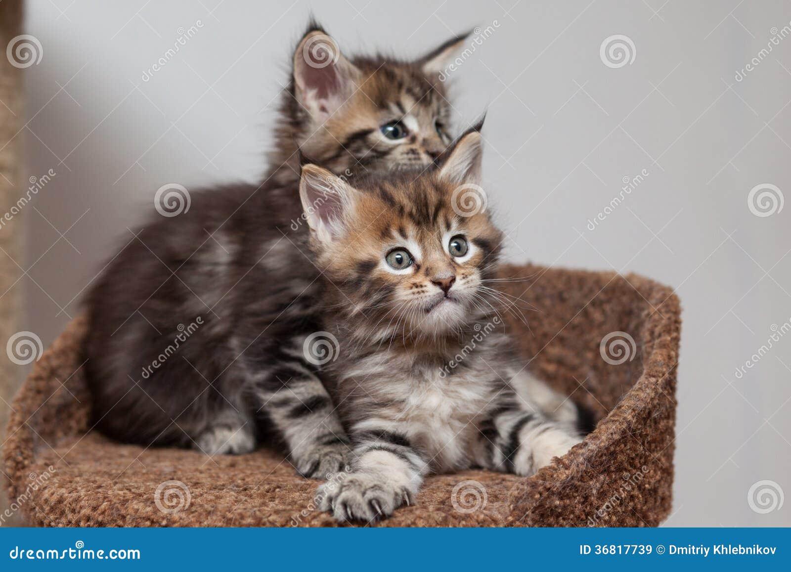 Γατάκι του Μαίην Coon