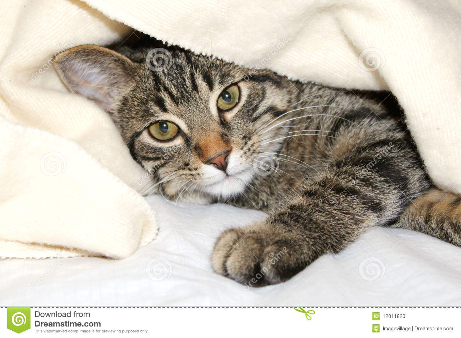 4872d1e47486 γενική γάτα κάτω στοκ εικόνες. εικόνα από γκρίζος