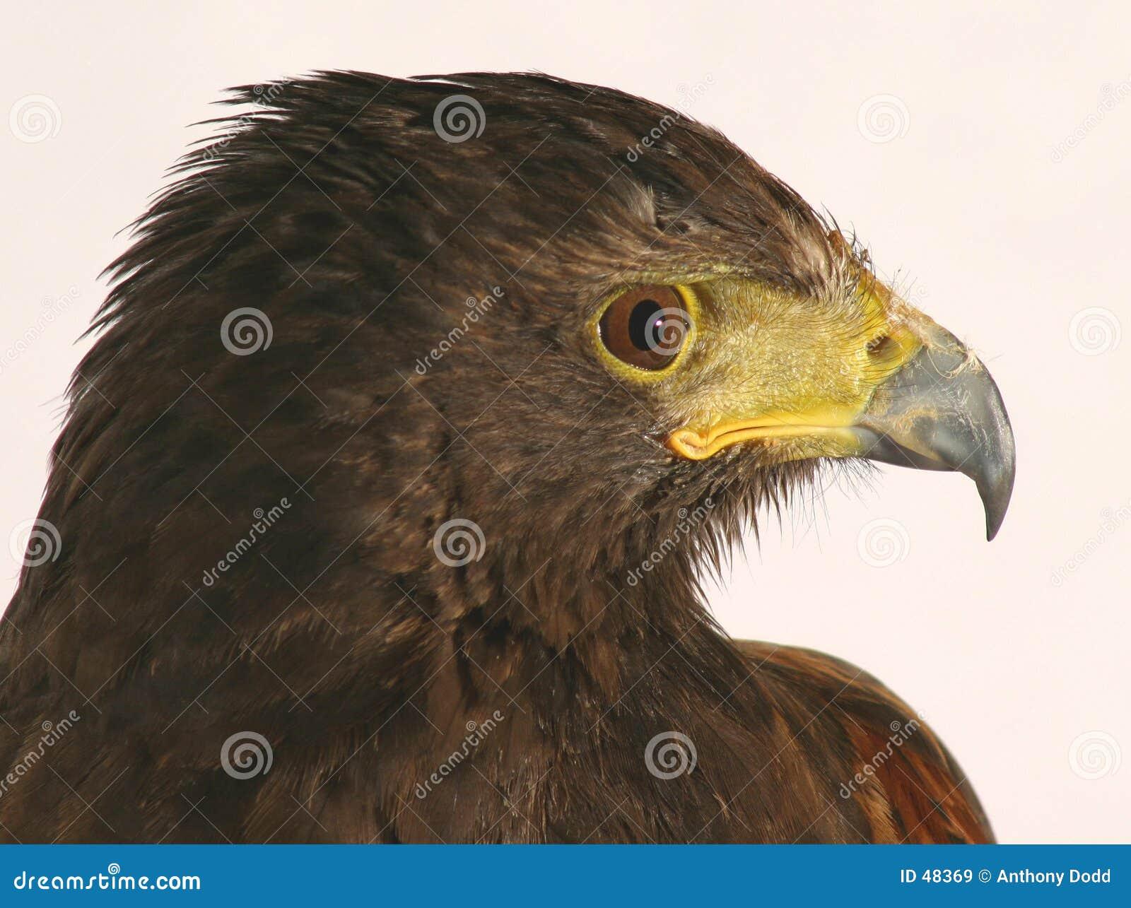 Download γεράκι harris στοκ εικόνα. εικόνα από σκοτεινός, κράτη, carnivore - 48369