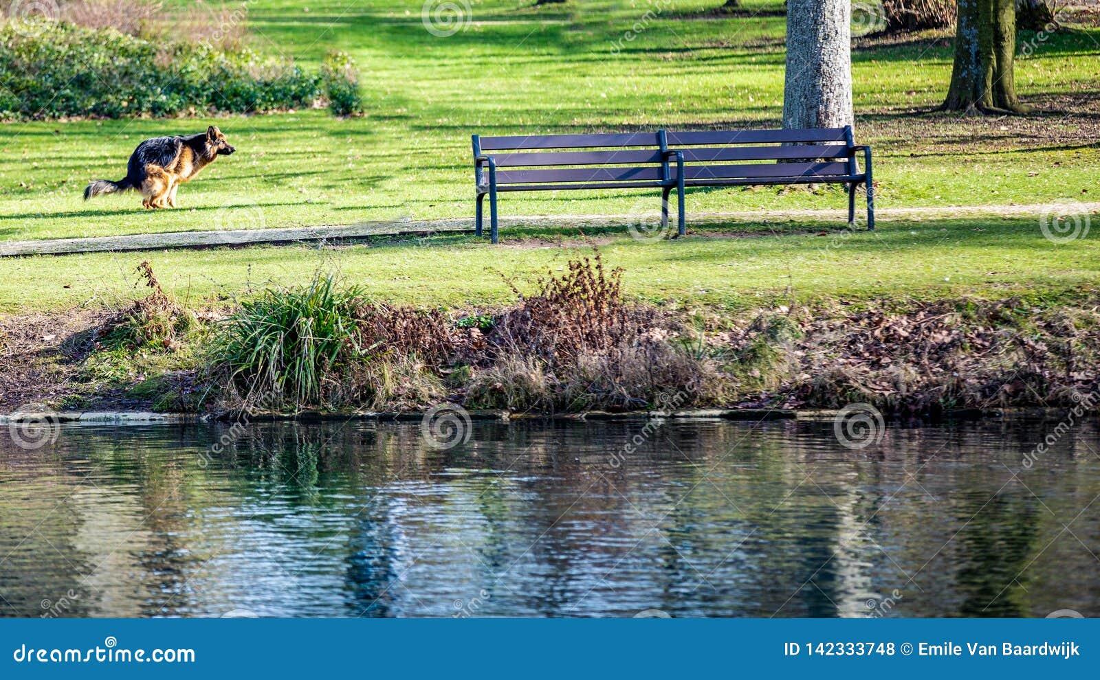 Γερμανικό σκυλιών ποιμένων στη χλόη δίπλα σε έναν πάγκο και μια λίμνη με το κρύσταλλο - καθαρίστε το νερό στο πάρκο Proosdij