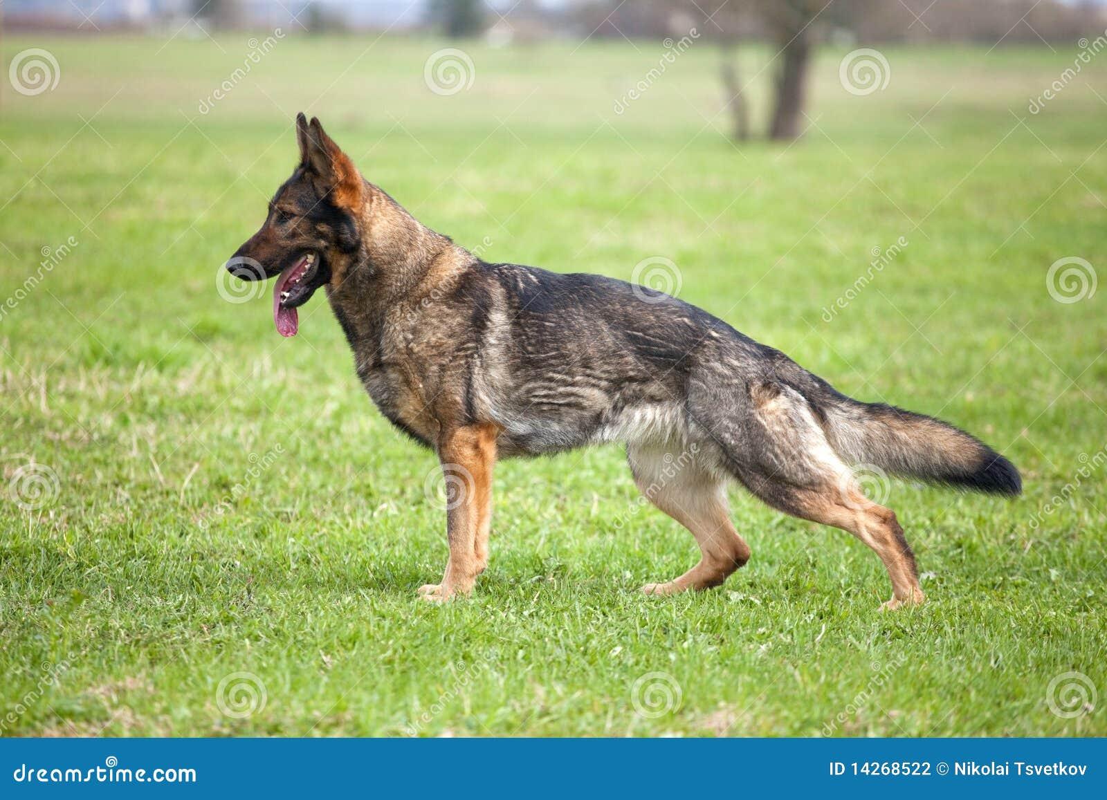 γερμανικό τσοπανόσκυλο