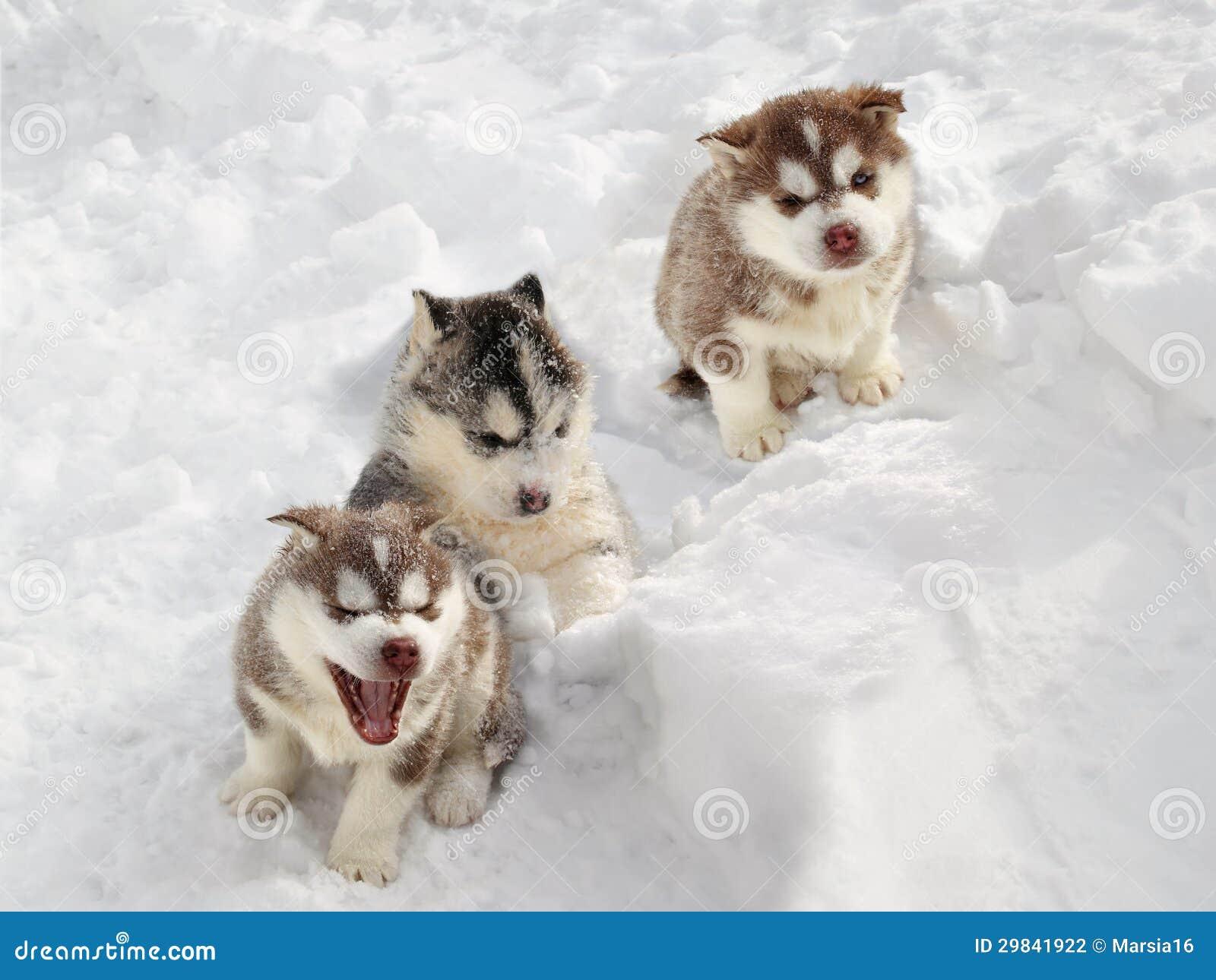 Γεροδεμένο κουτάβι στο χιόνι