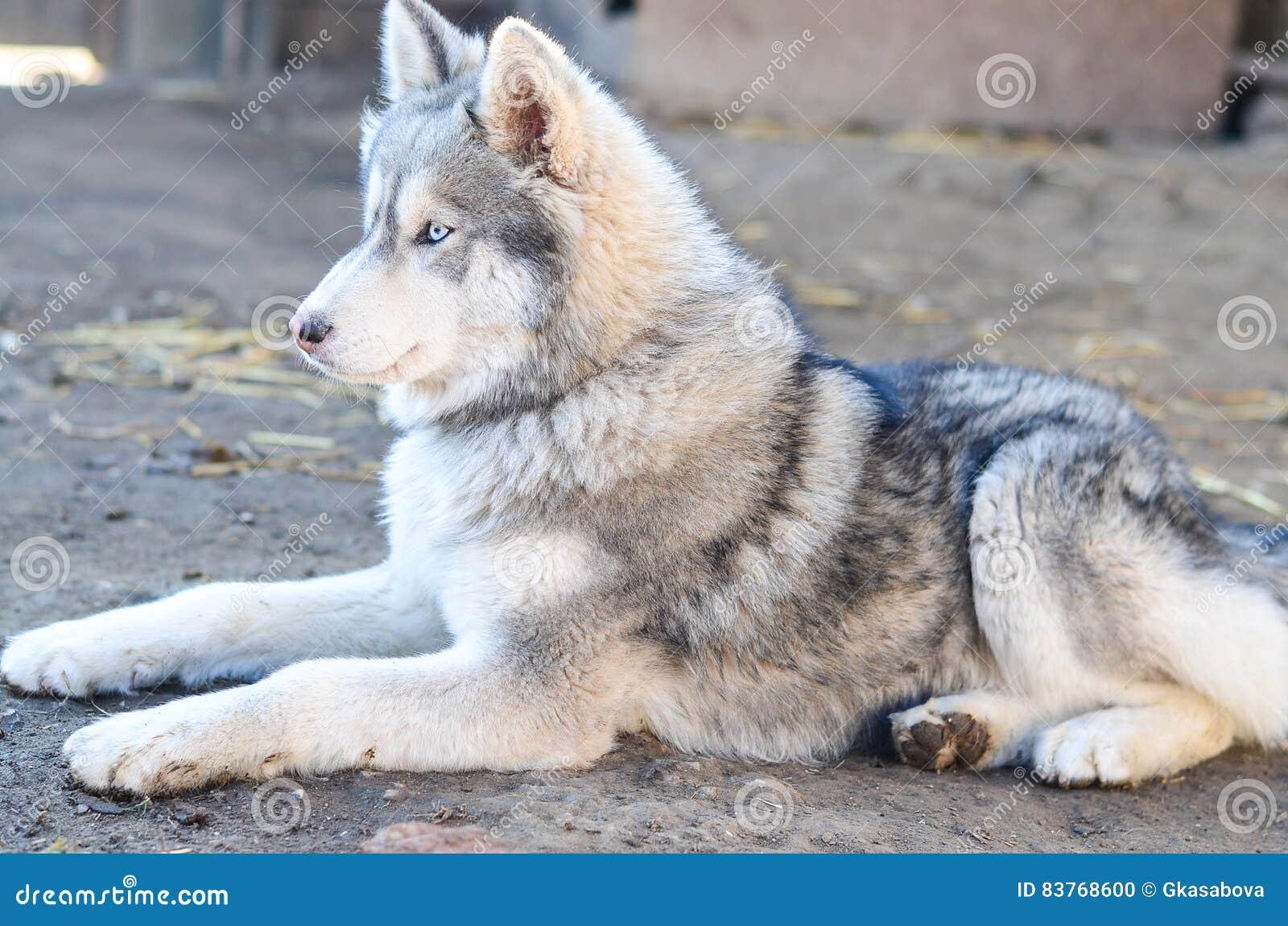 Γεροδεμένο σκυλί