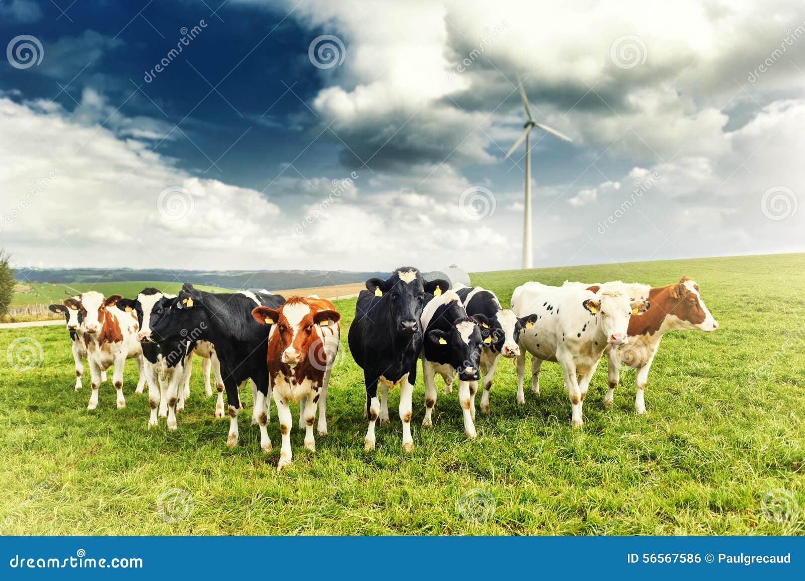 Download Γεωργικό τοπίο με το κοπάδι των αγελάδων Στοκ Εικόνες - εικόνα από πράσινος, βακκινίων: 56567586