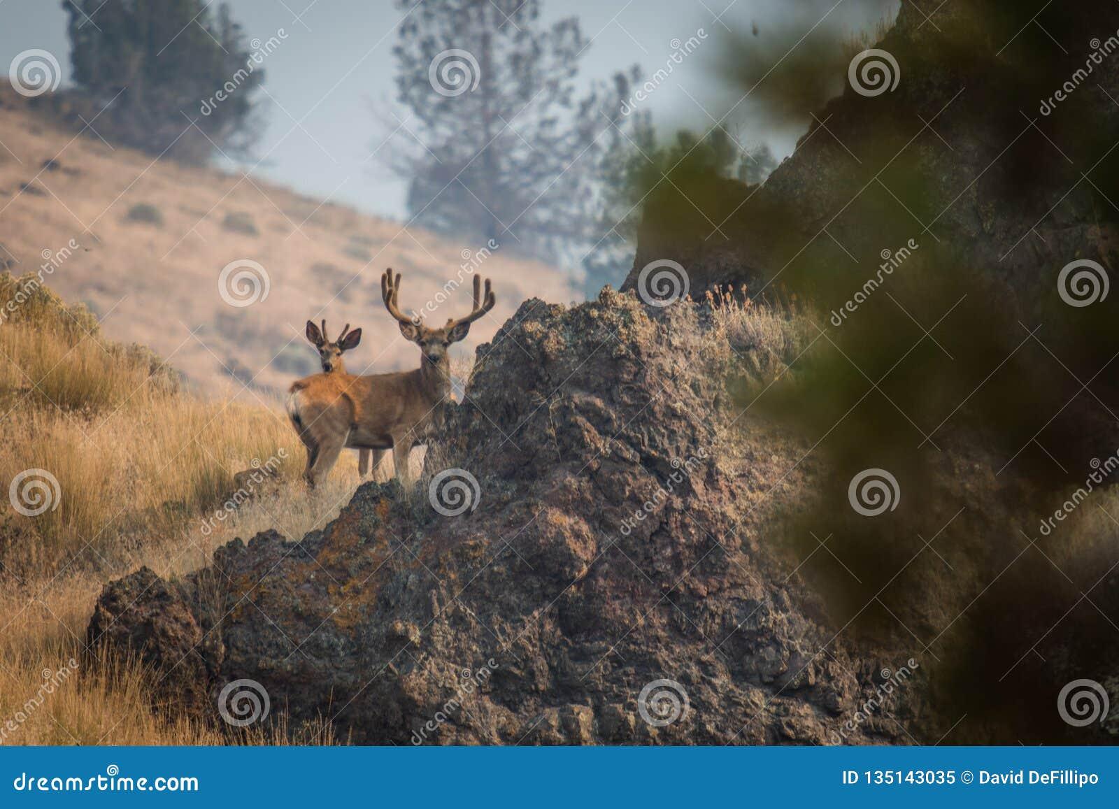 Γιγαντιαίο Buck σε ένα Hill